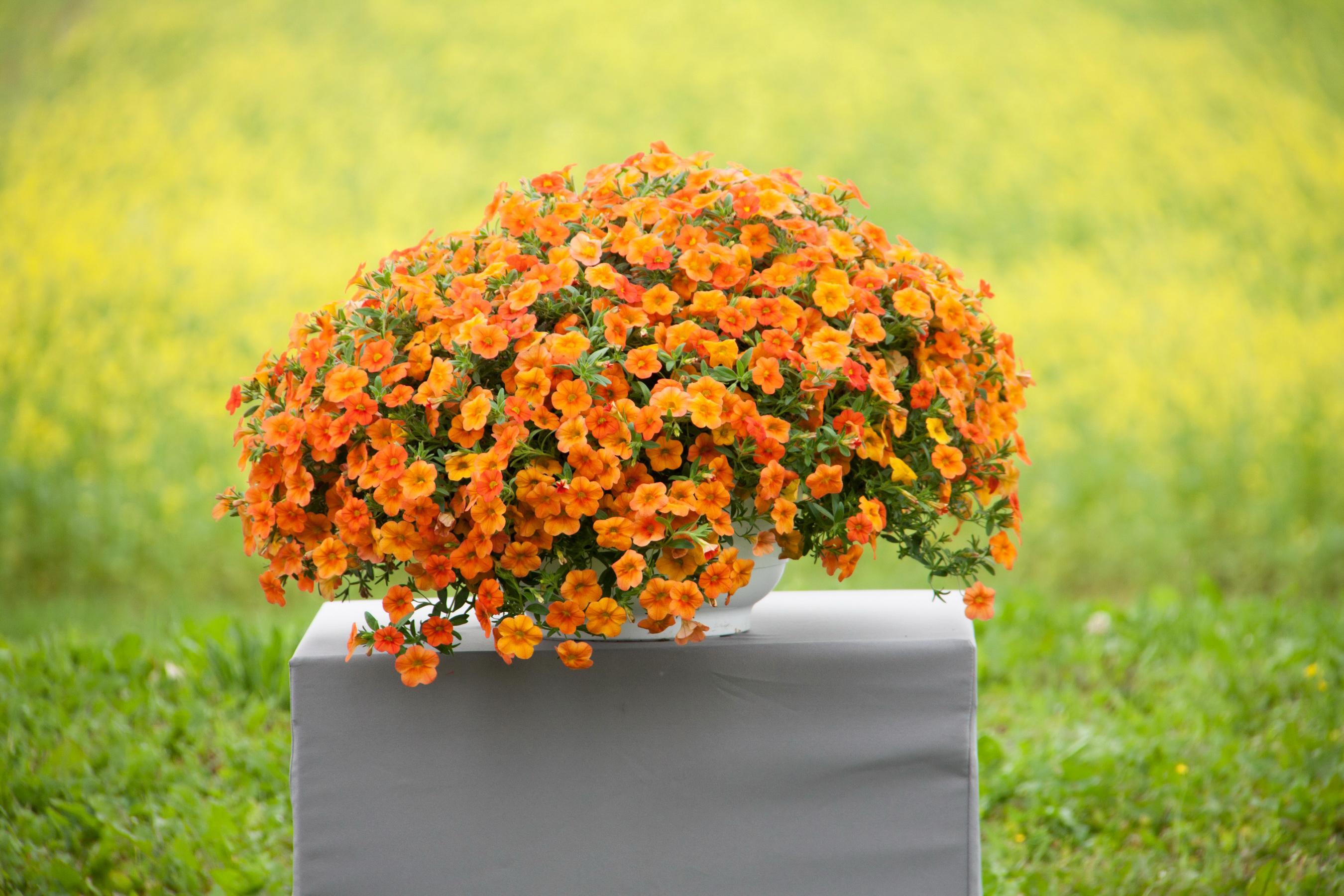 Фотография Оранжевый цветок Петунья Много оранжевых оранжевые оранжевая Цветы
