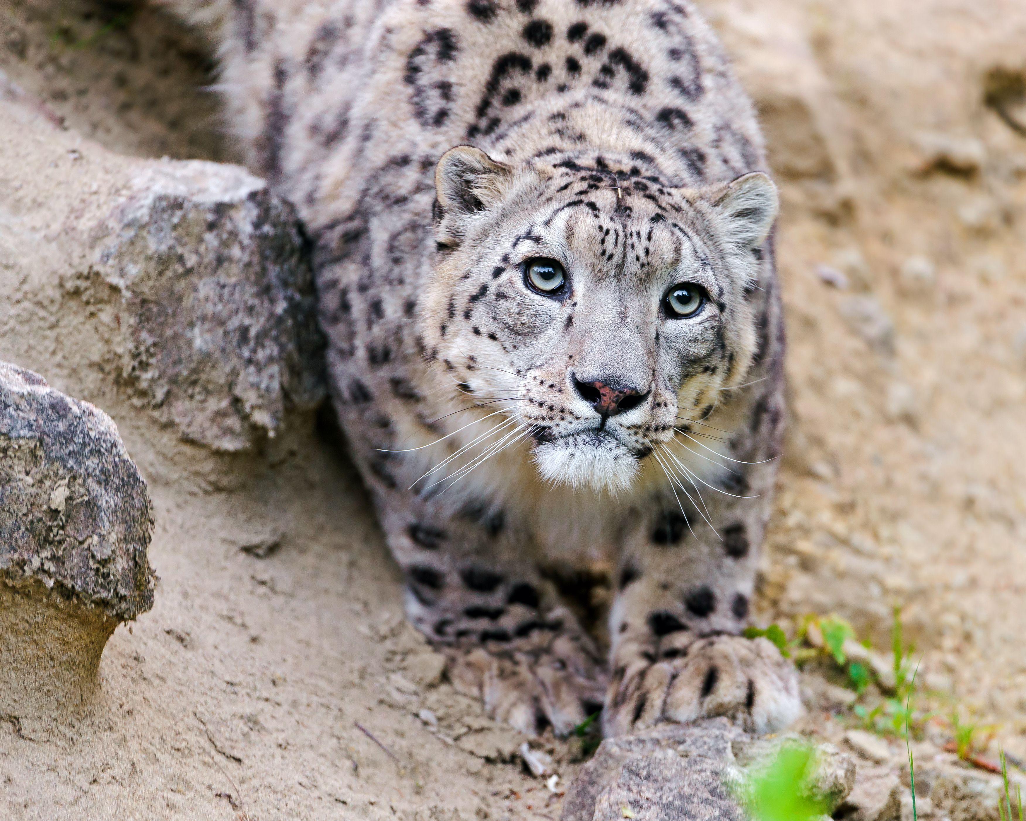 природа животные снег зима ягуар бесплатно