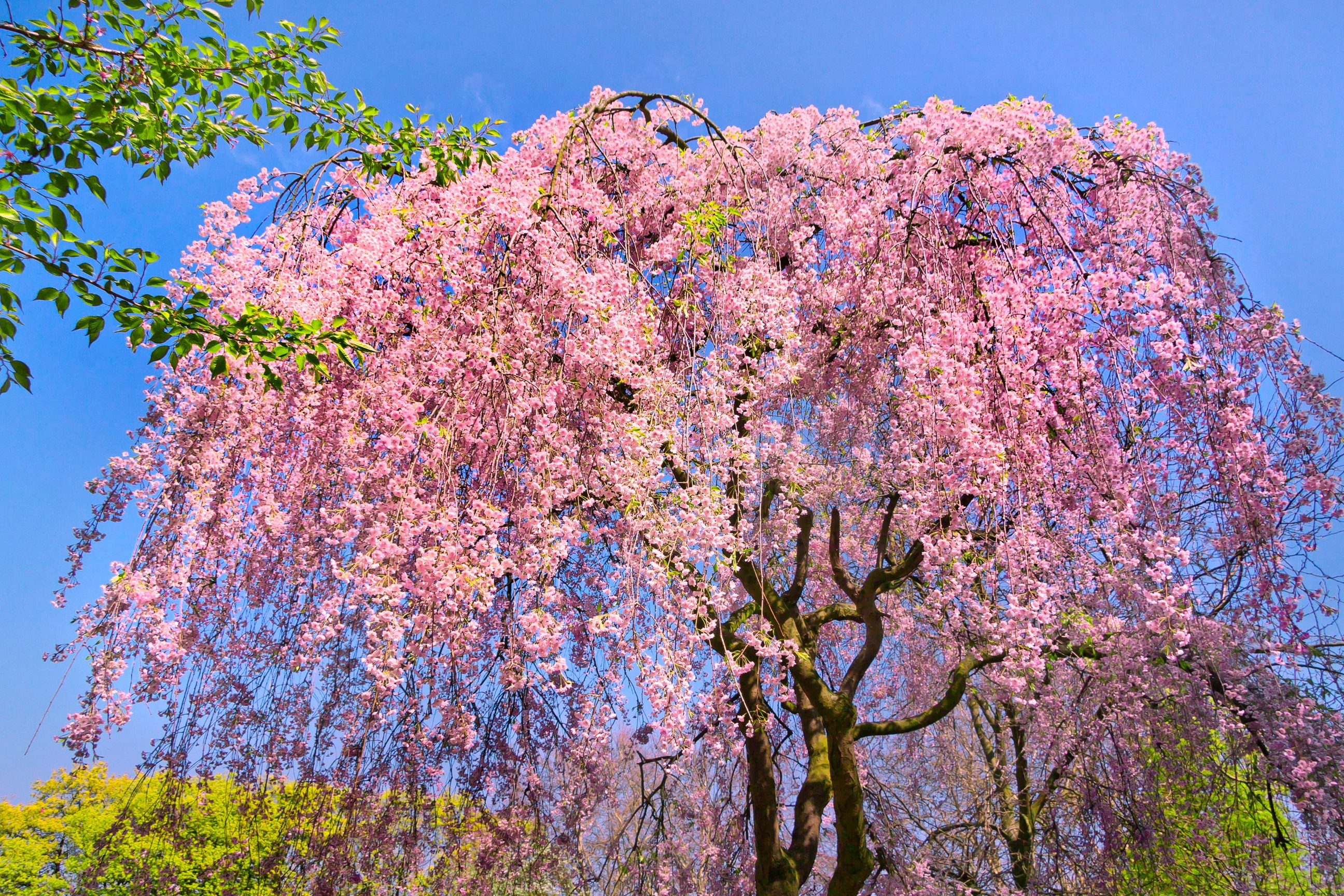 cherry blossom pictures - HD2592×1728
