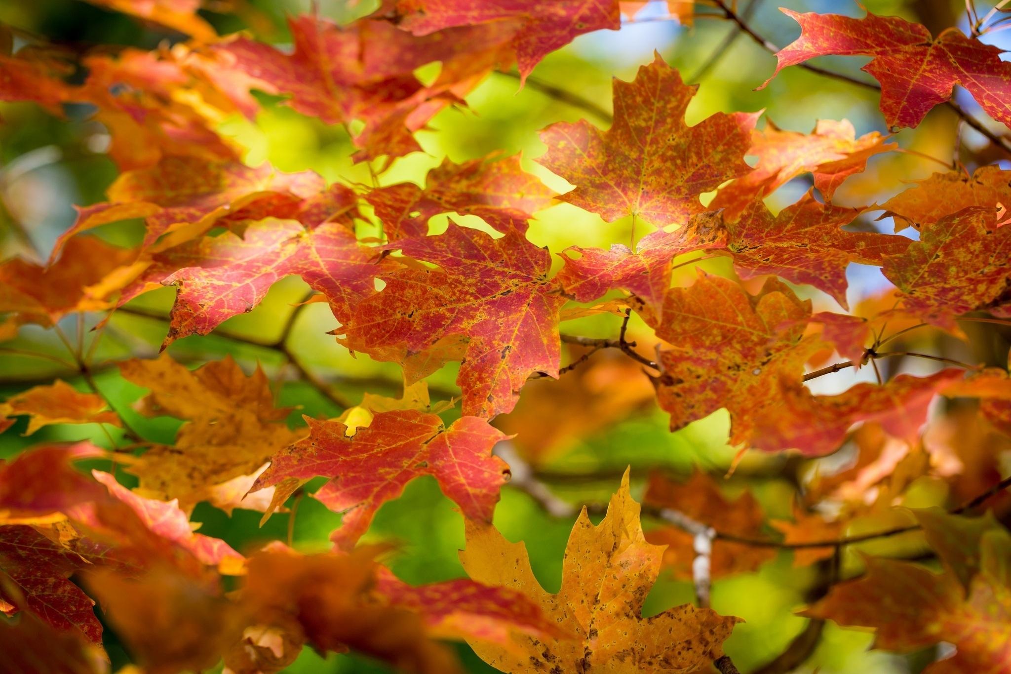 Ветка листья осенние без смс