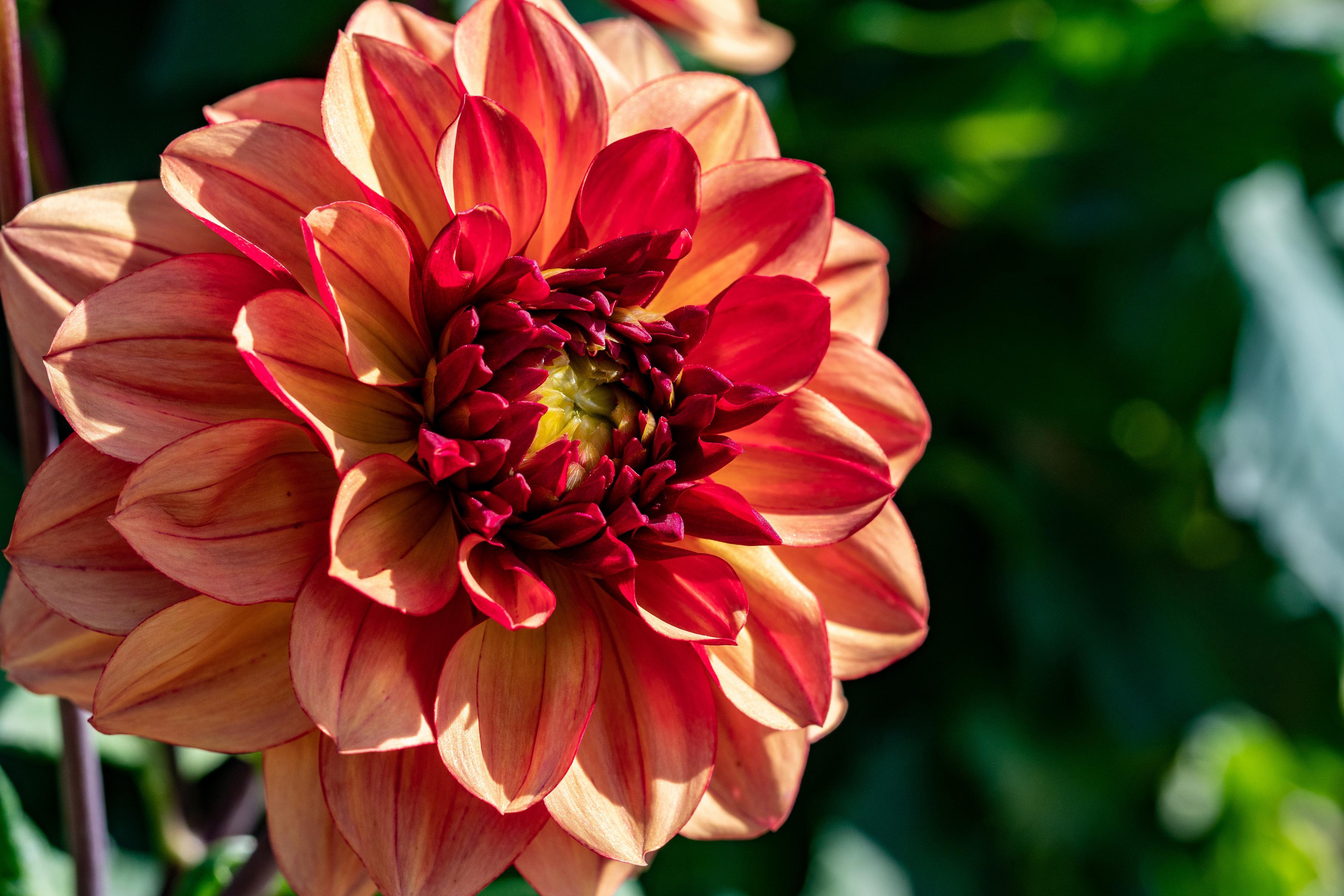 Картинка боке цветок Георгины Крупным планом 3645x2430 Размытый фон Цветы вблизи