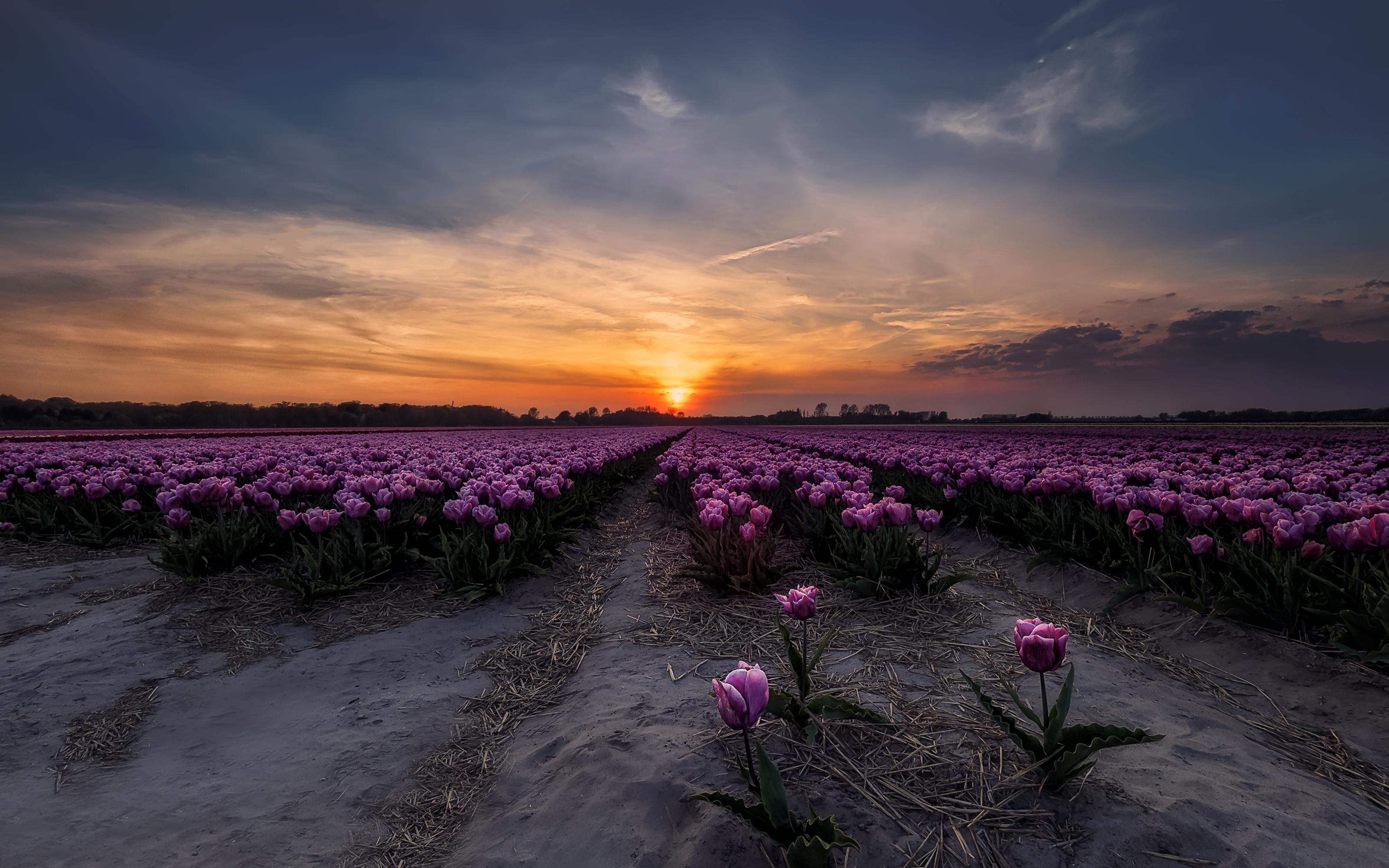 тюльпаны поле закат загрузить