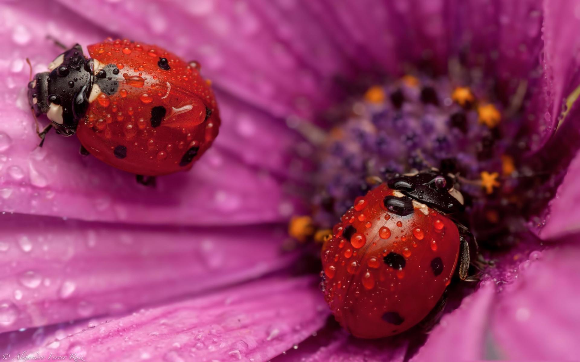 Картинки Божьи коровки насекомое Капли животное Крупным планом Насекомые капля капель капельки вблизи Животные