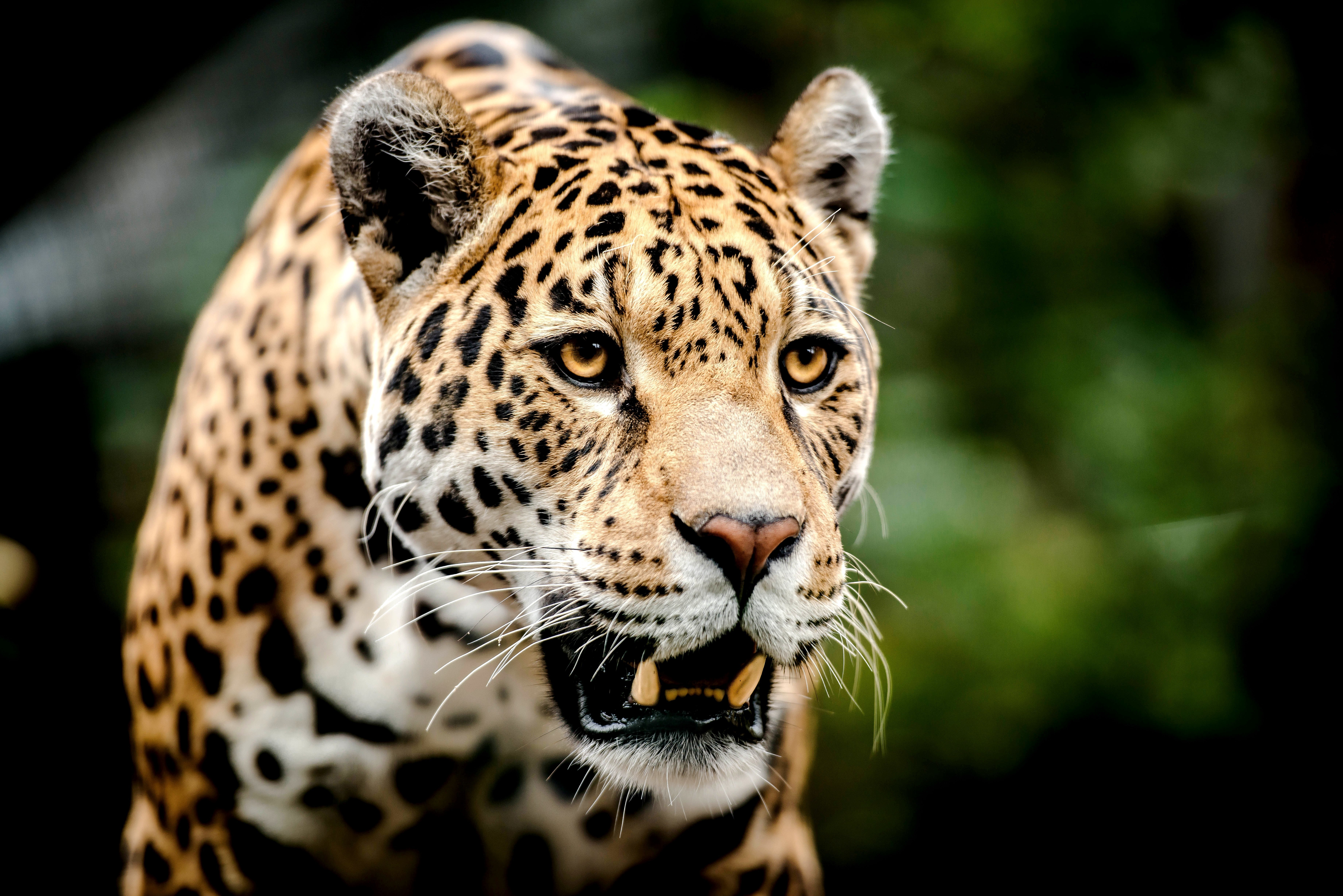 ягуар на лужайке бесплатно