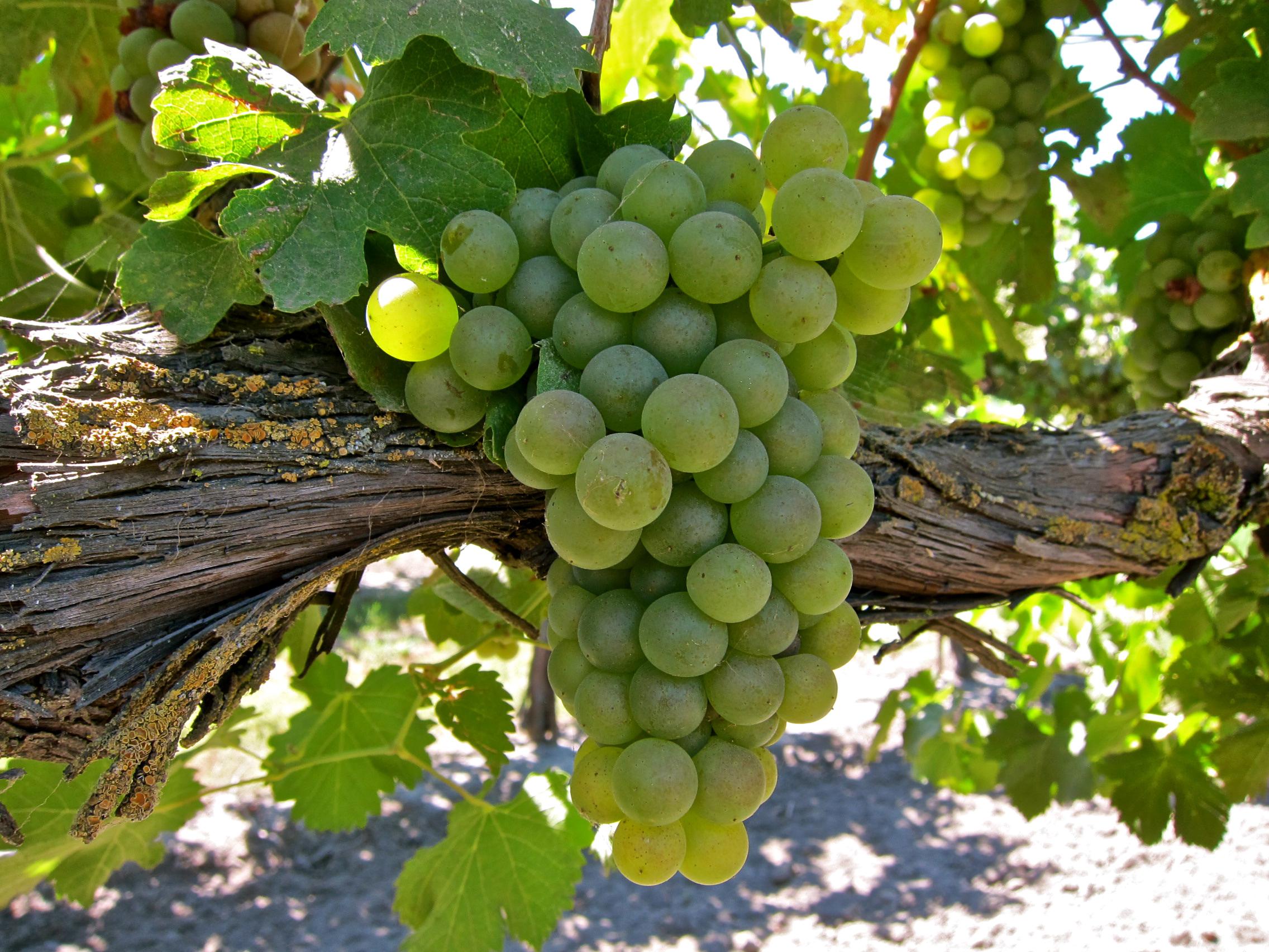 Фото зеленых Виноград ветка Продукты питания Крупным планом 2272x1704 Зеленый зеленые зеленая Еда Пища Ветки ветвь на ветке вблизи