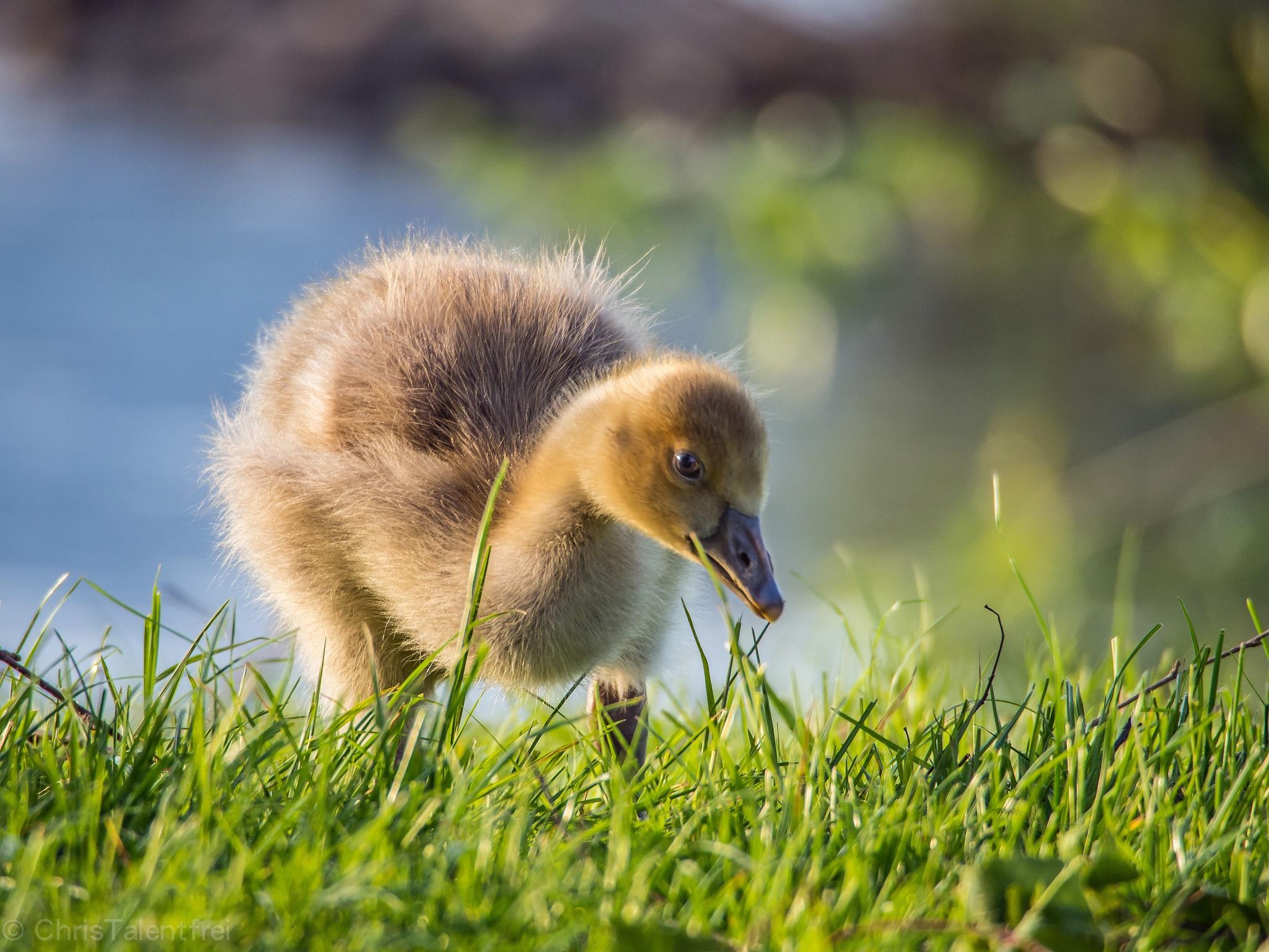 природа животные трава утята без смс