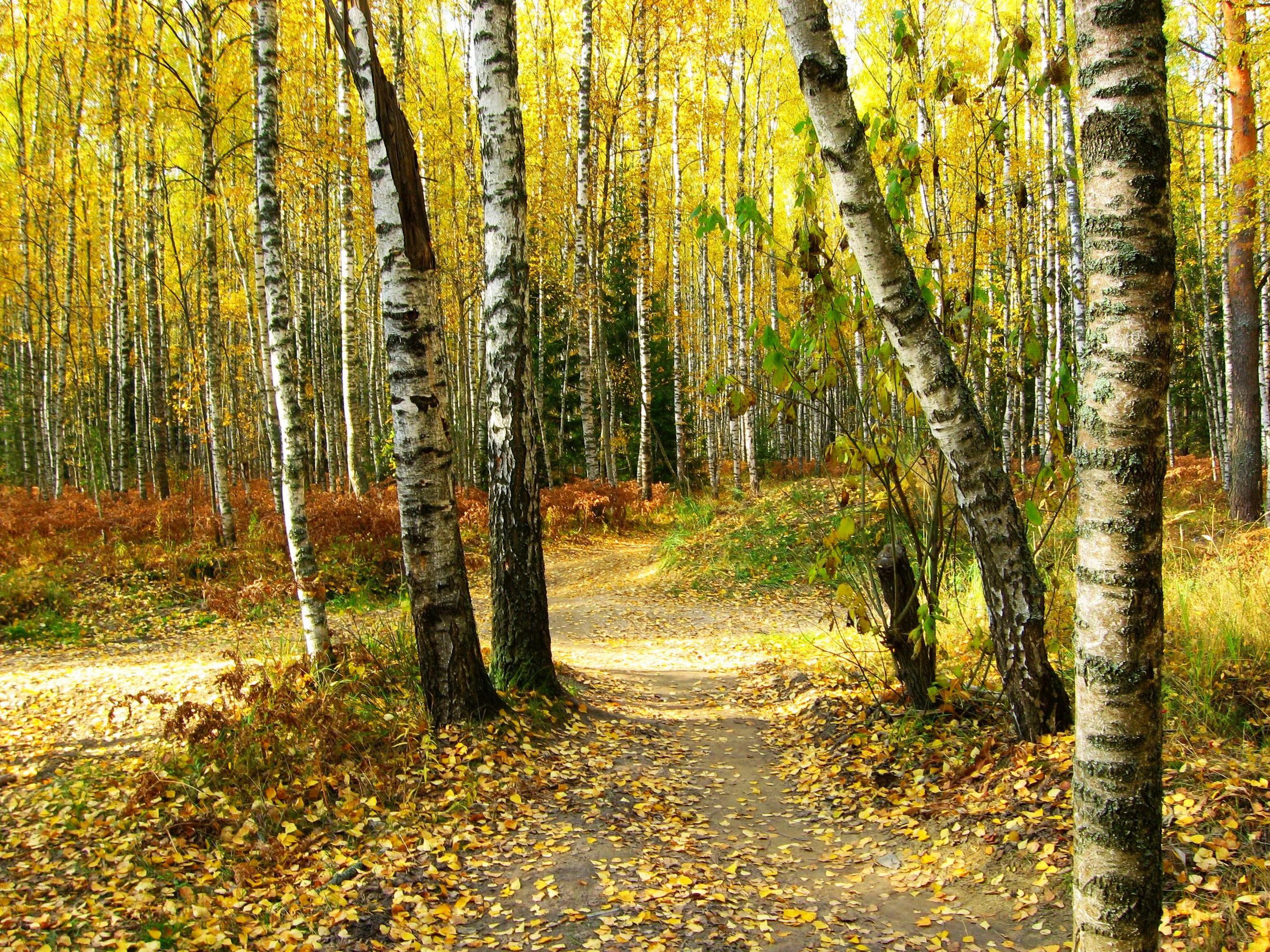лес березы осень бесплатно