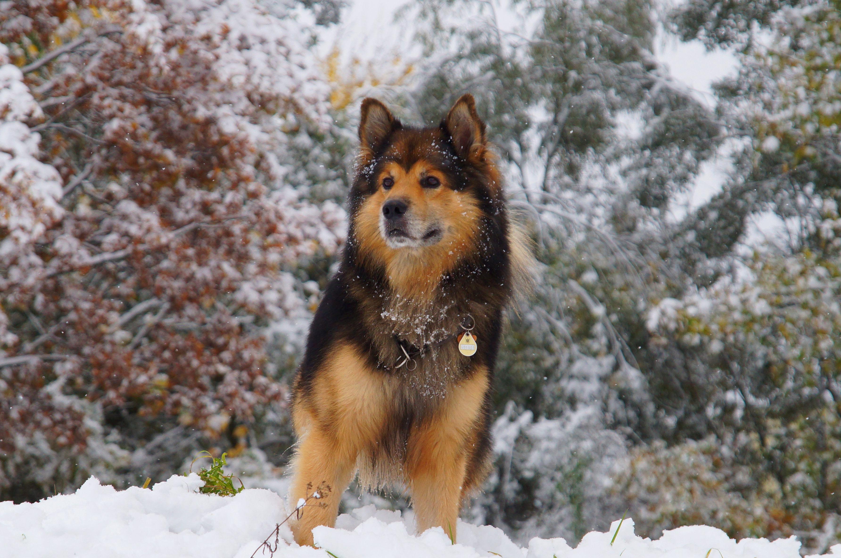 природа животные зима собака без смс