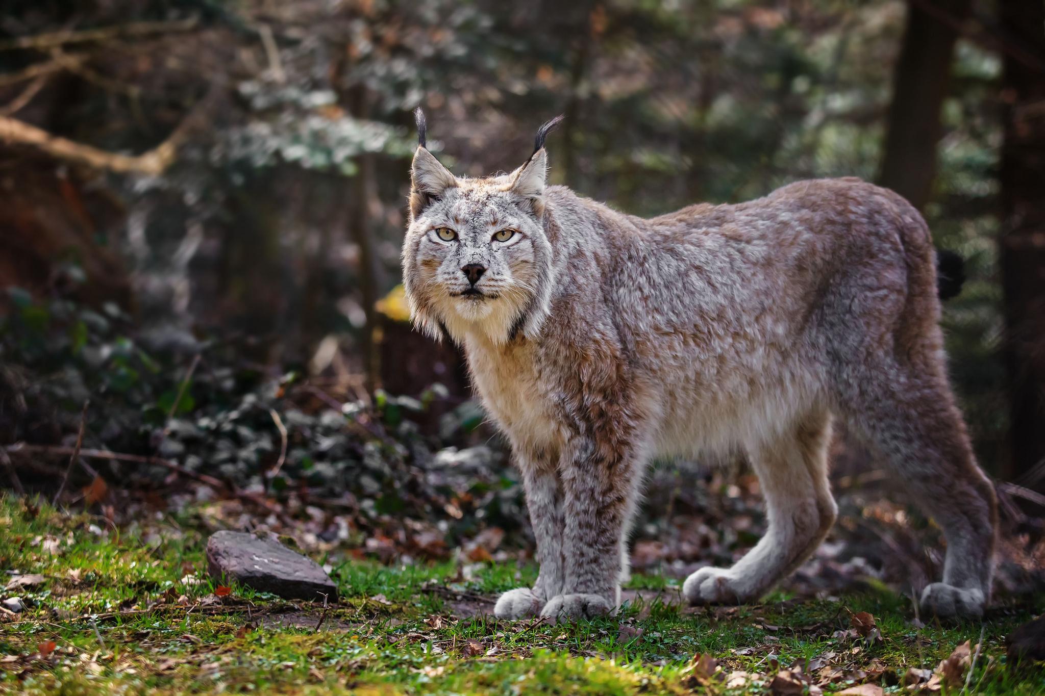 рысь, охота, лес загрузить