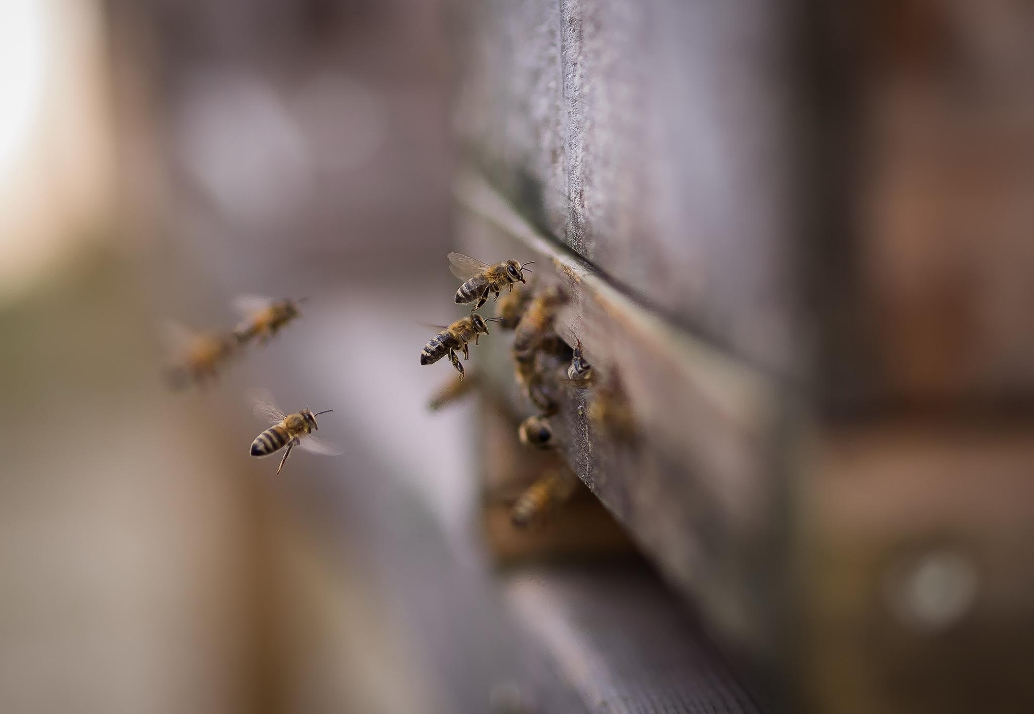 Обои для рабочего стола Пчелы Животные Крупным планом вблизи животное