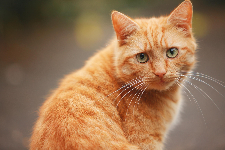 кот рыжий cat red без смс