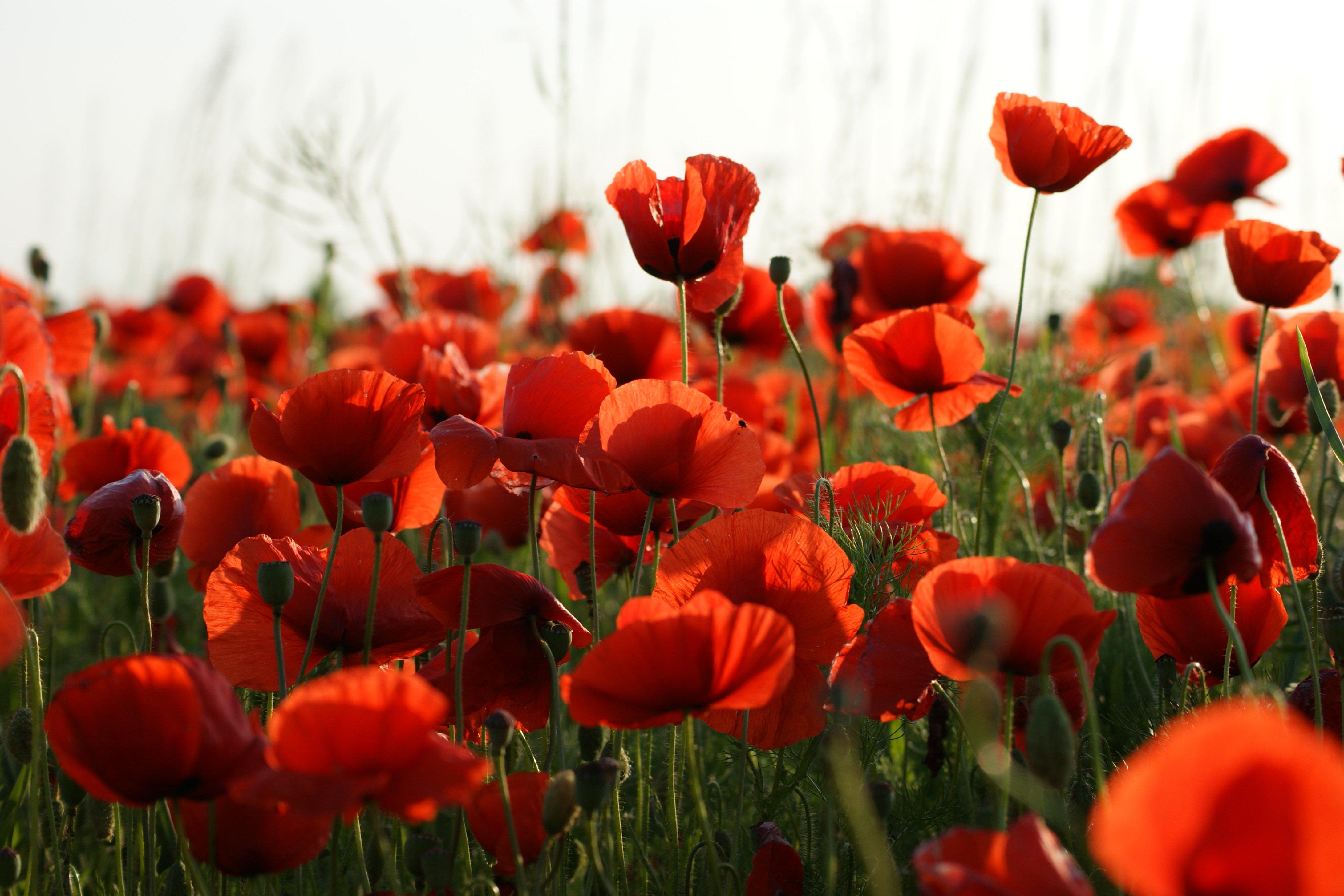 Картинки Красный мак цветок Много 4364x2910 красная красные красных Маки Цветы
