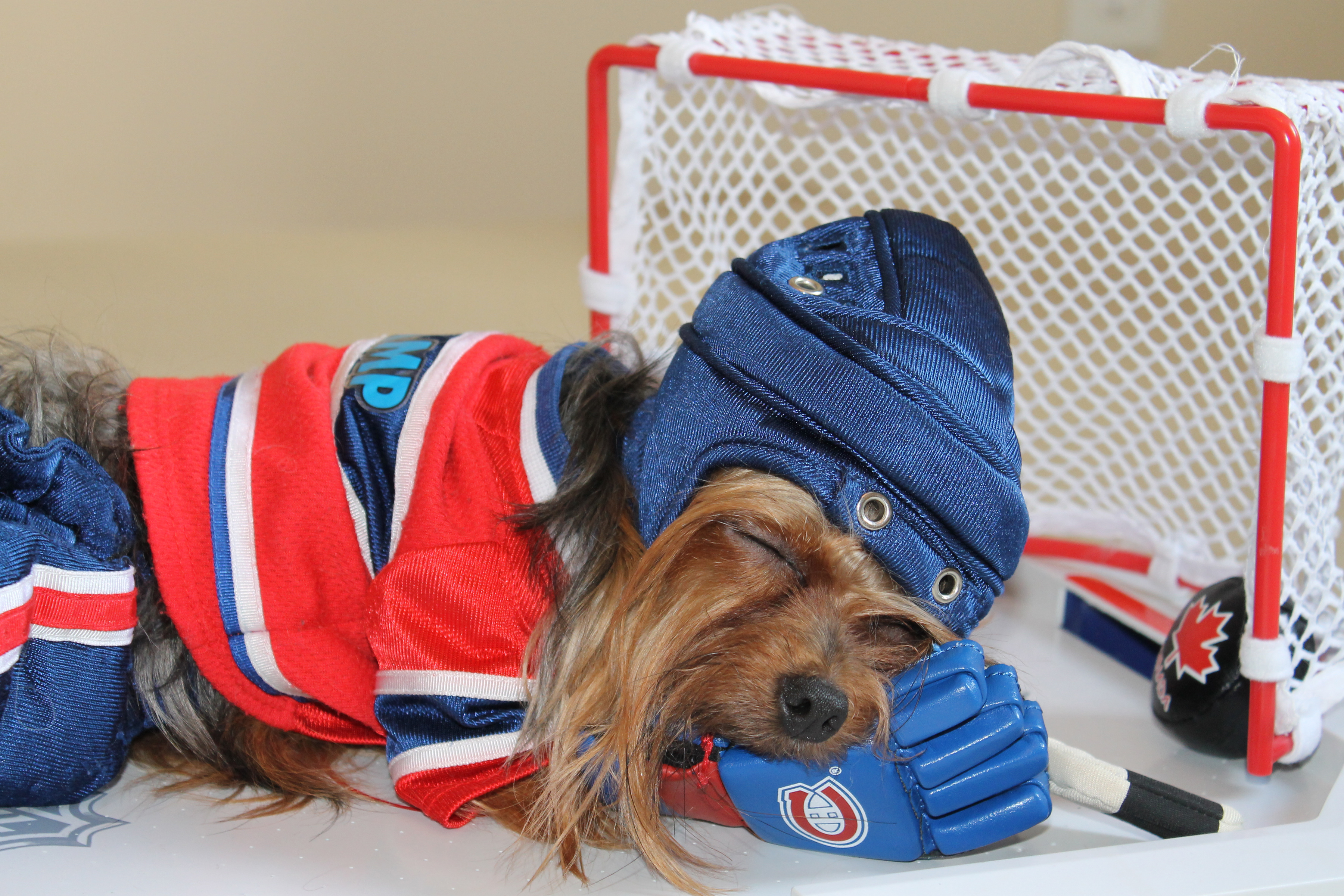 Фотографии Йоркширский терьер Собаки Хоккей униформе Животные 3600x2400 собака Униформа животное