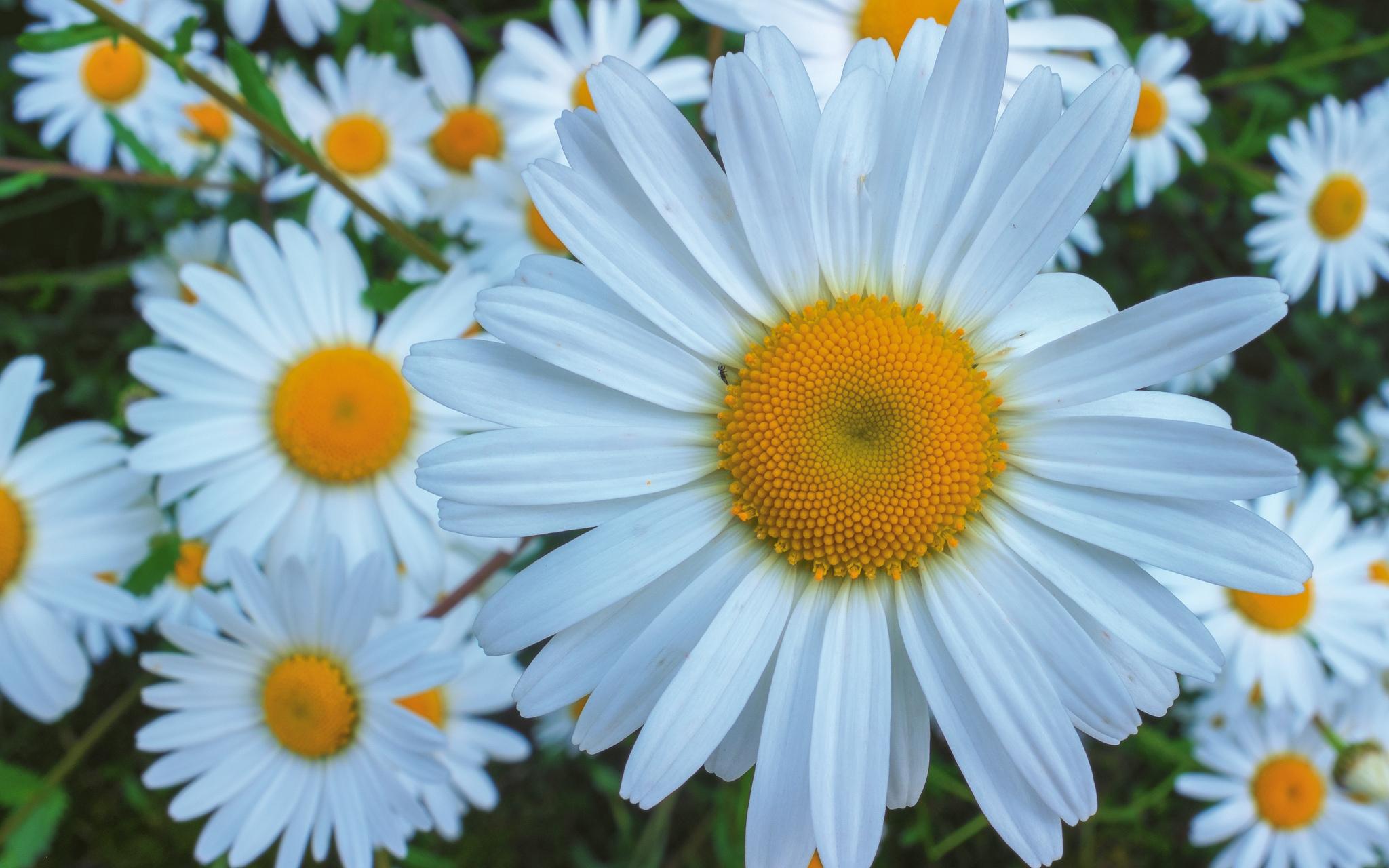 ромашка цветок улыбка загрузить