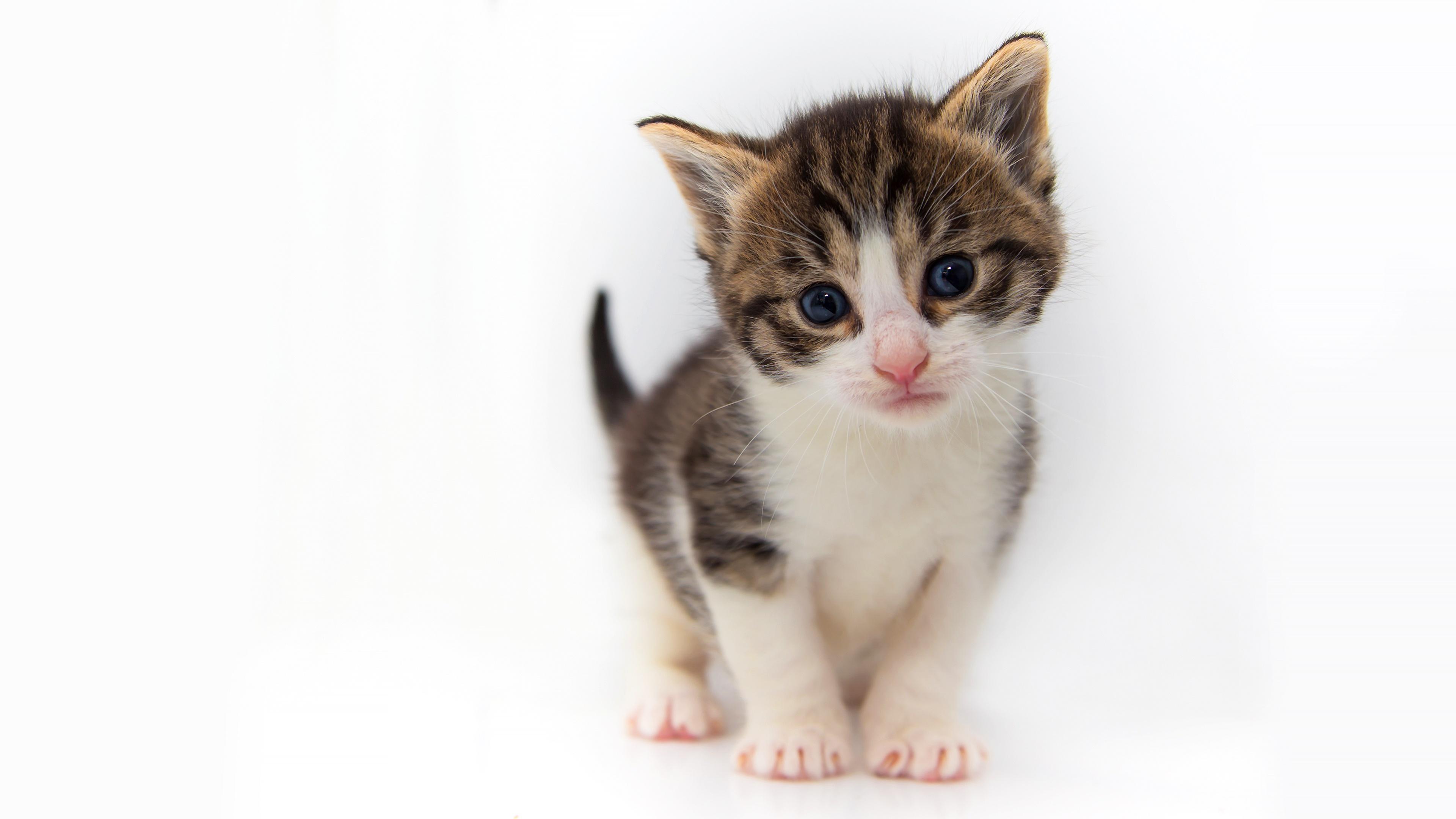 Обои для рабочего стола Котята кошка Взгляд животное Белый фон котят котенок котенка кот коты Кошки смотрит смотрят Животные белом фоне белым фоном