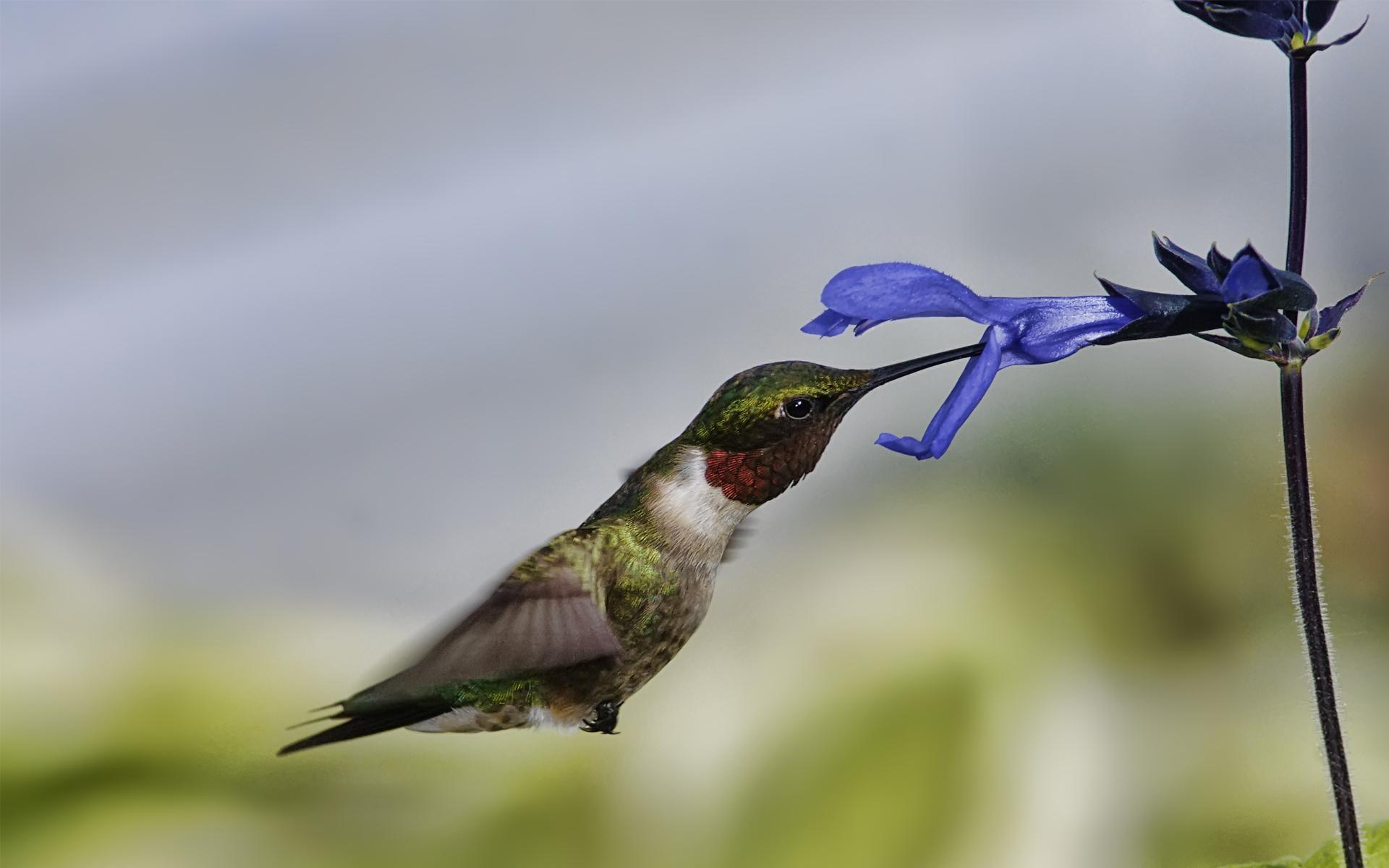 животное птица колибри макро бесплатно