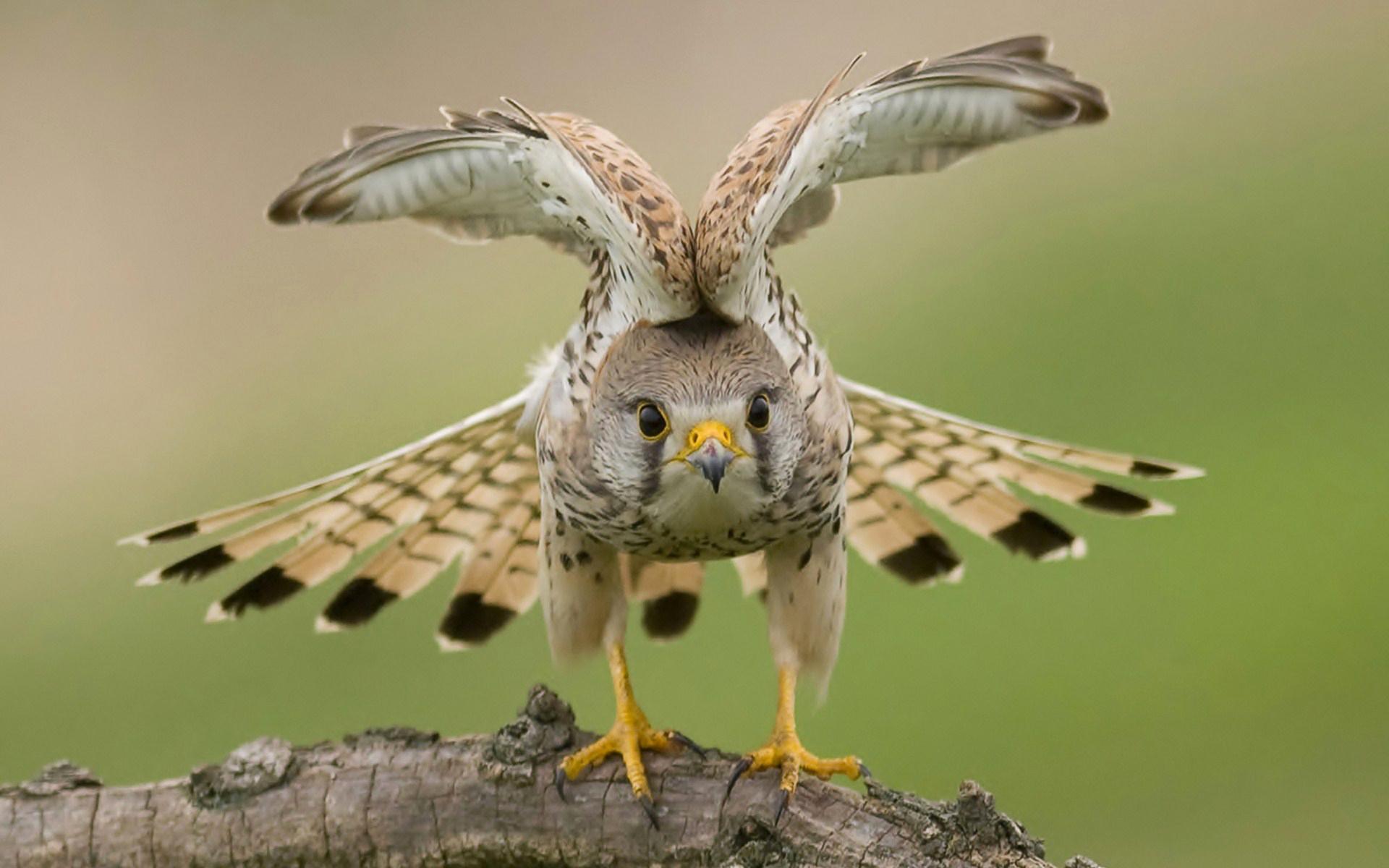 природа животные птица сокол nature animals bird Falcon скачать