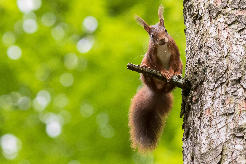 Белка на высохшем дереве бесплатно