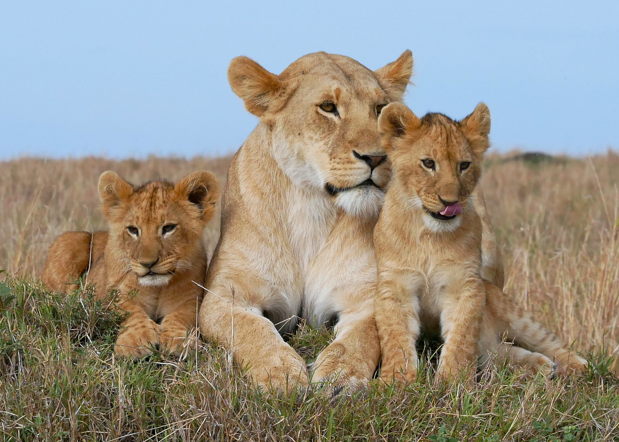 Семья львов бесплатно