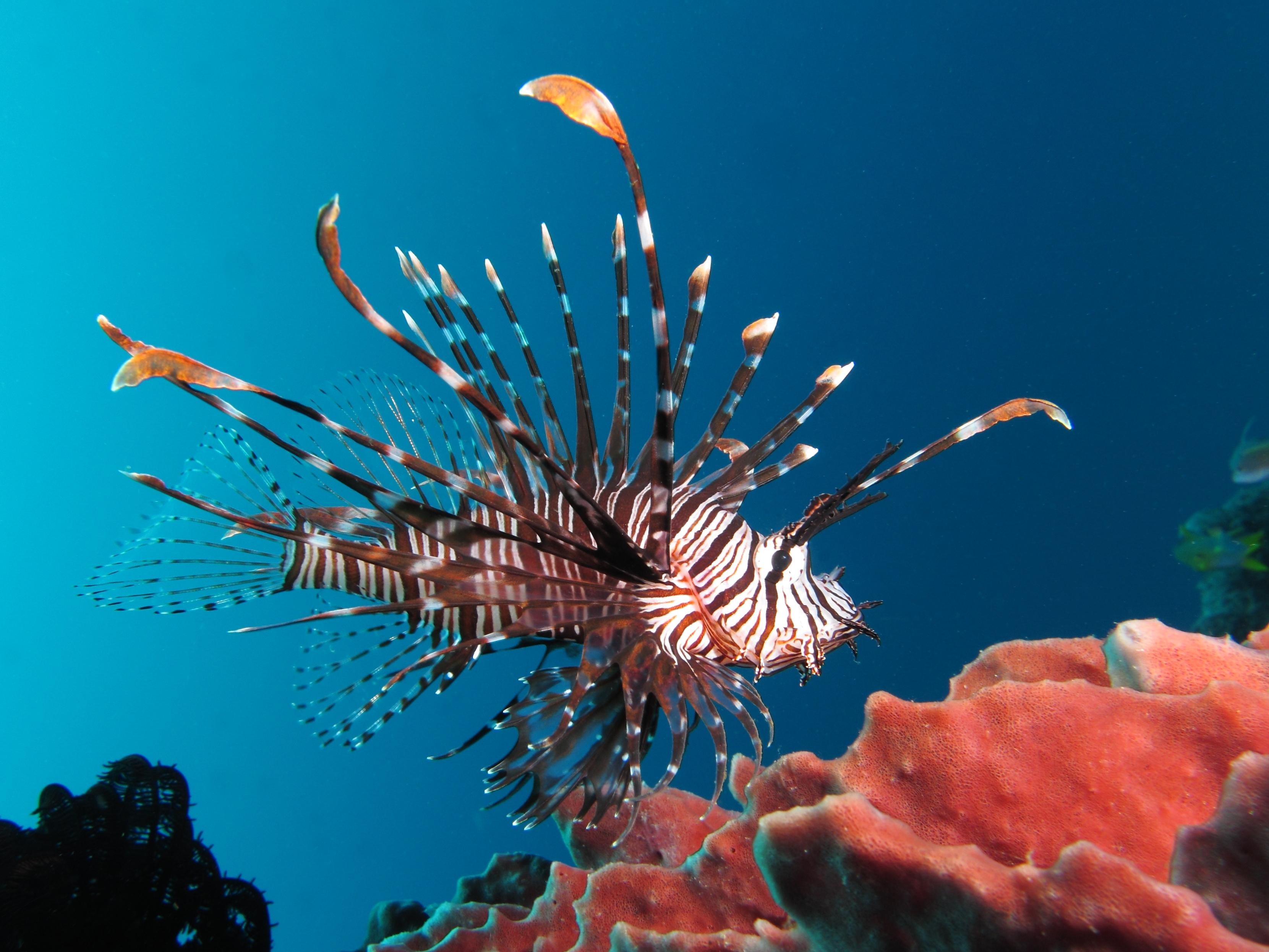 Фотография Крылатки Рыбы Подводный мир Кораллы животное 3321x2491 крылатка Животные