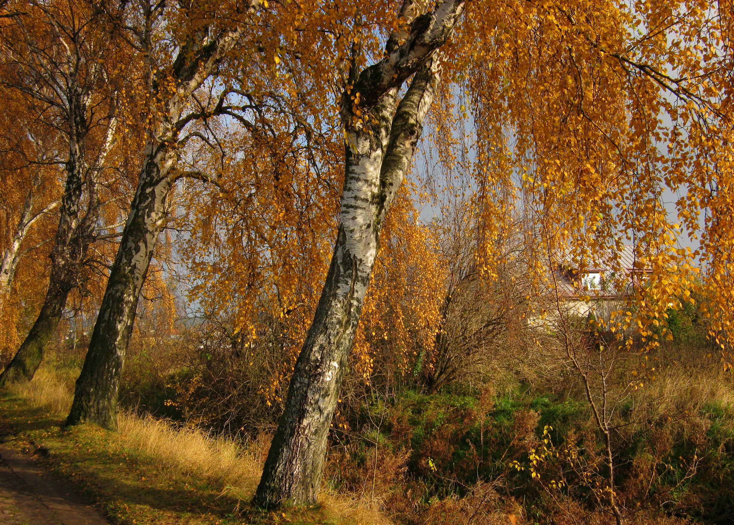 природа деревья березы осень скачать