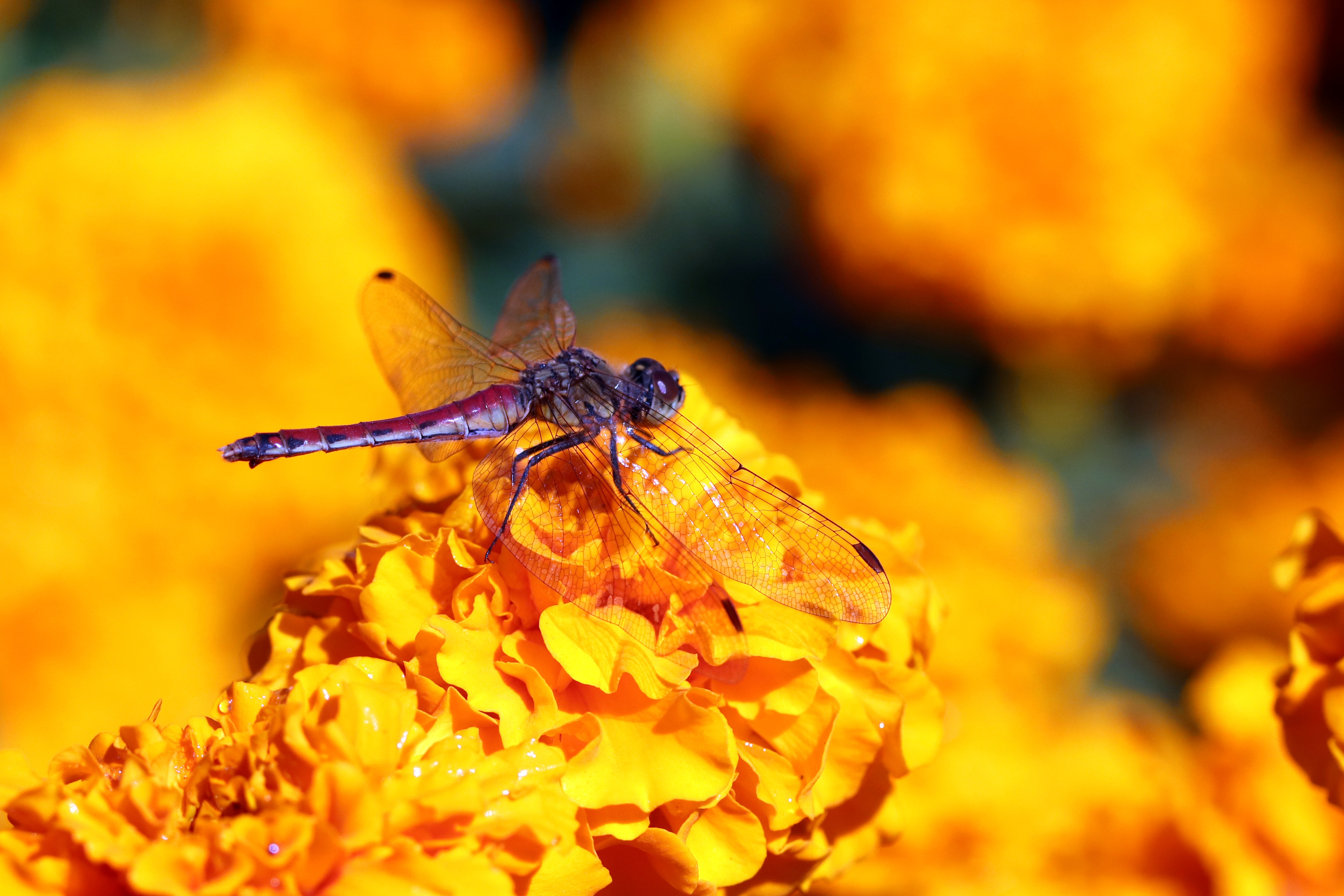 Фотографии Стрекозы Насекомые боке Животные Крупным планом насекомое Размытый фон вблизи животное