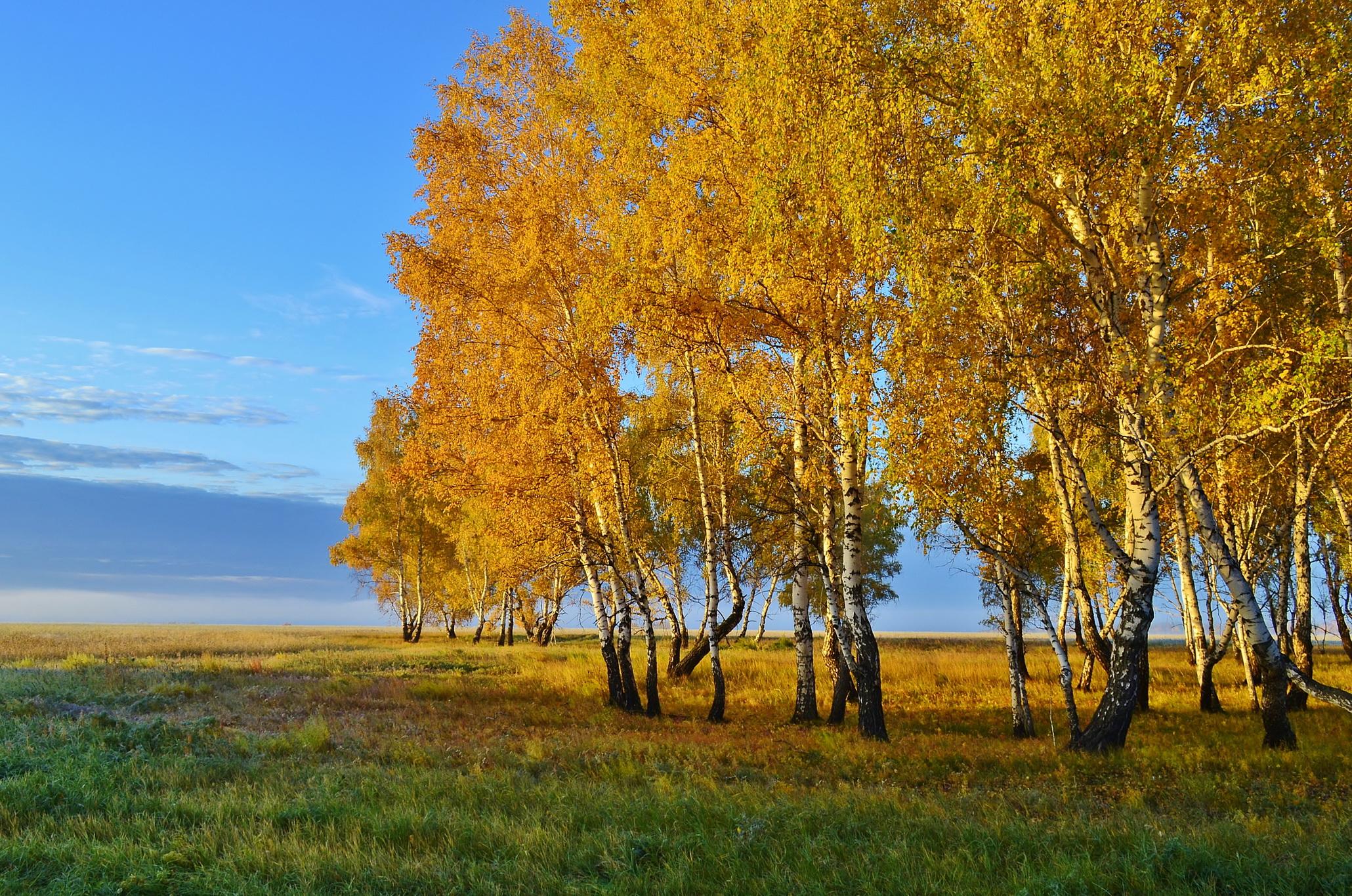 картинки березы осенью