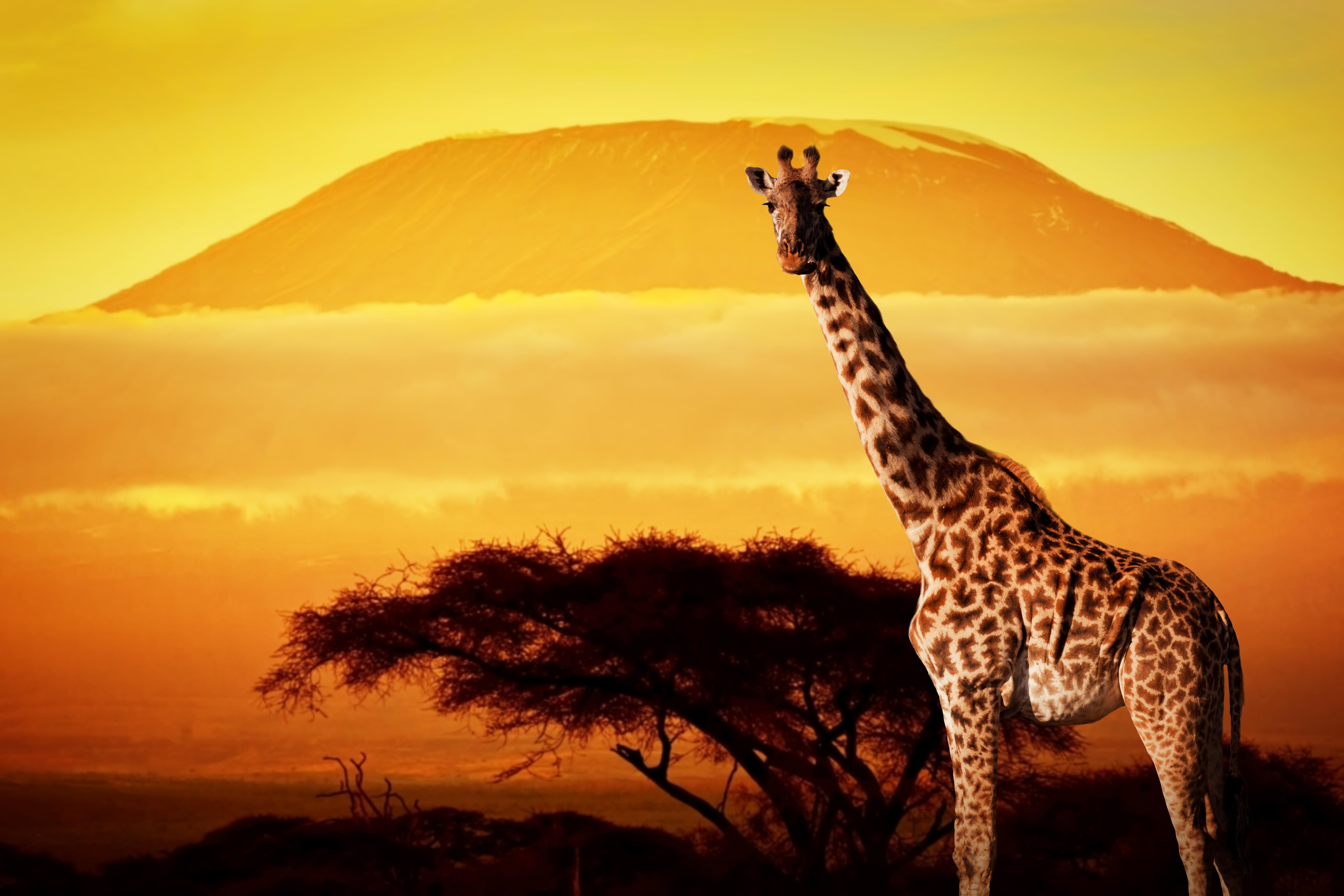 Фото Жирафы Животные 5616x3744 жираф животное