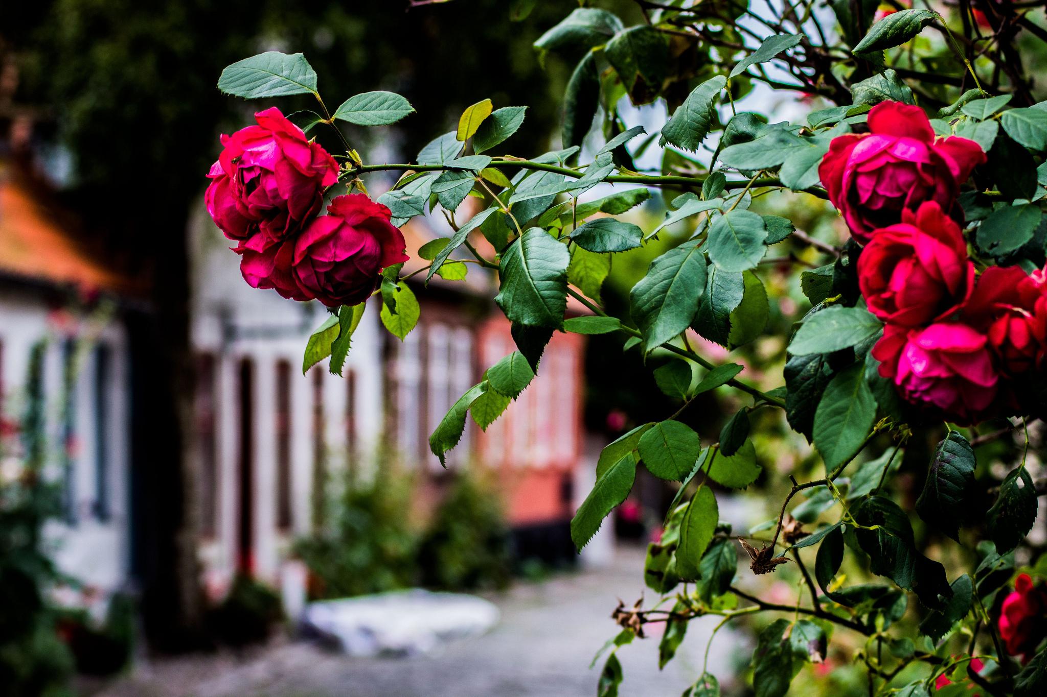 розы, куст, лужайка, бутоны, листья бесплатно