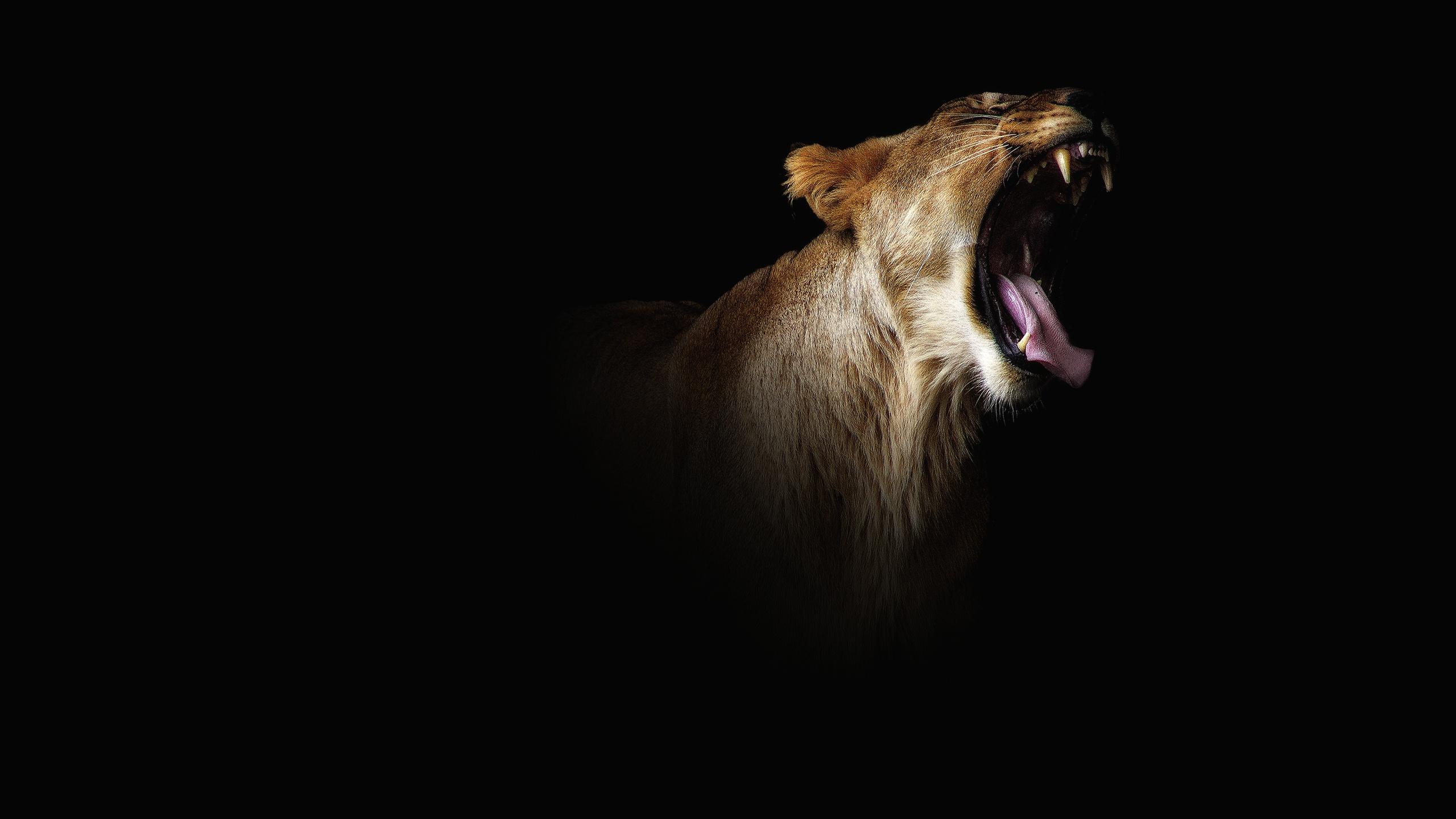 Обои для рабочего стола Львица Зевает языком животное Черный фон зевок зевают зевающая зевающий Язык (анатомия) Животные на черном фоне