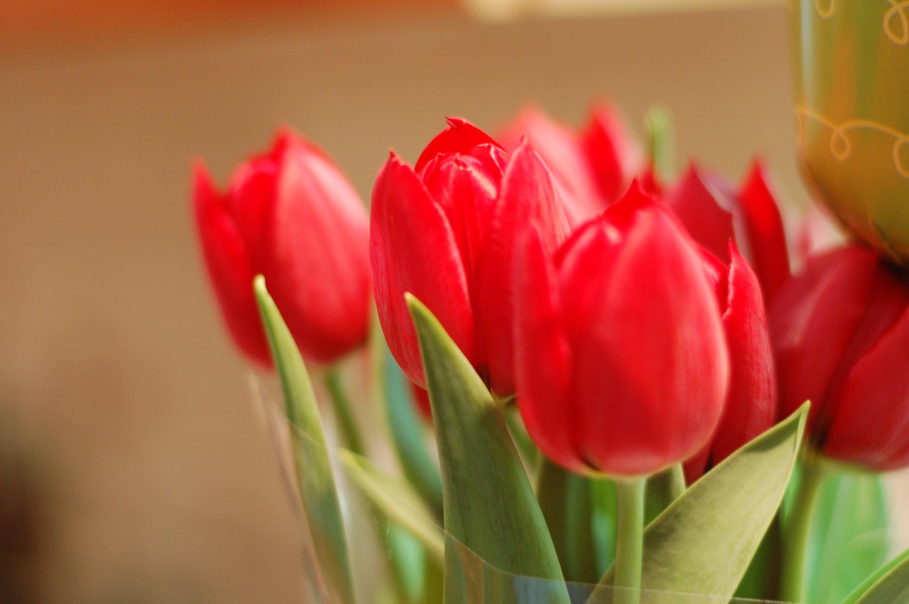красные тюльпаны бутоны цветы скачать