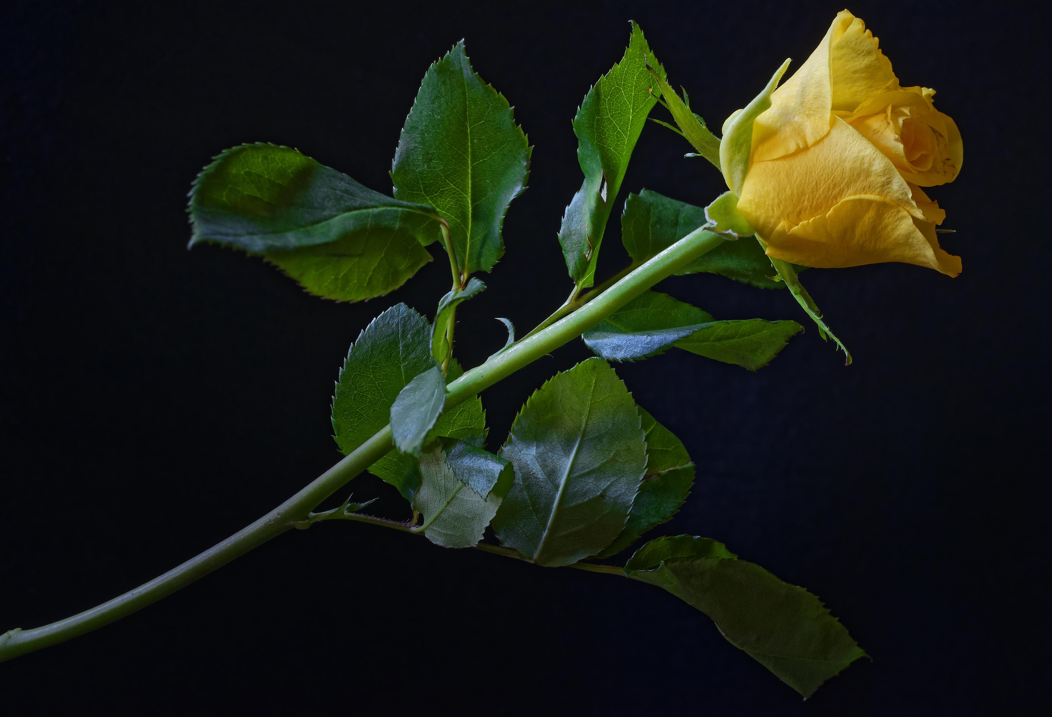 Картинки Розы Желтый Цветы Черный фон Крупным планом 3670x2500 желтых желтые желтая вблизи на черном фоне