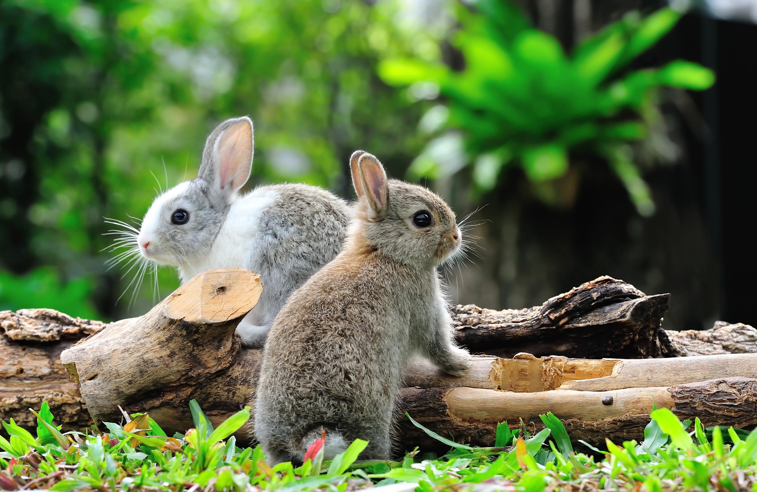 Картинка кролик боке 2 бревно Животные Кролики Размытый фон два две Двое вдвоем Бревна животное