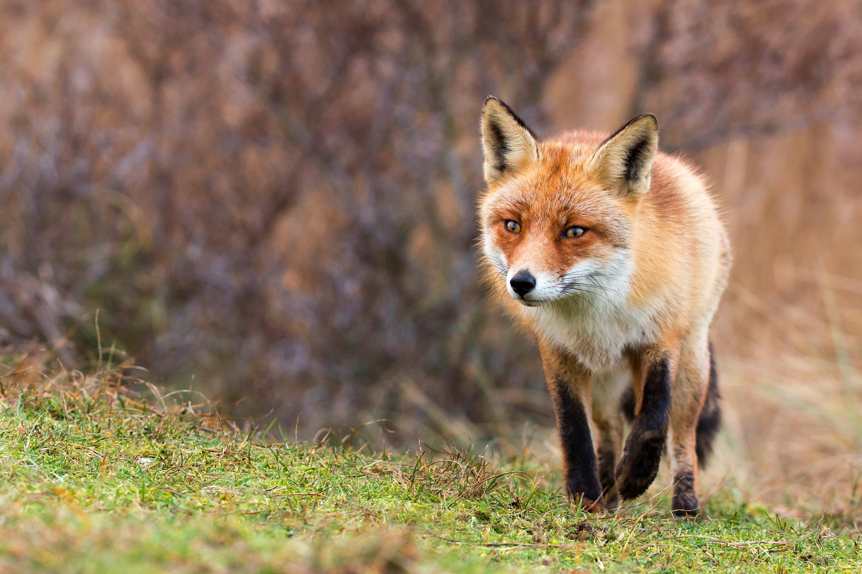 fox animal pictures