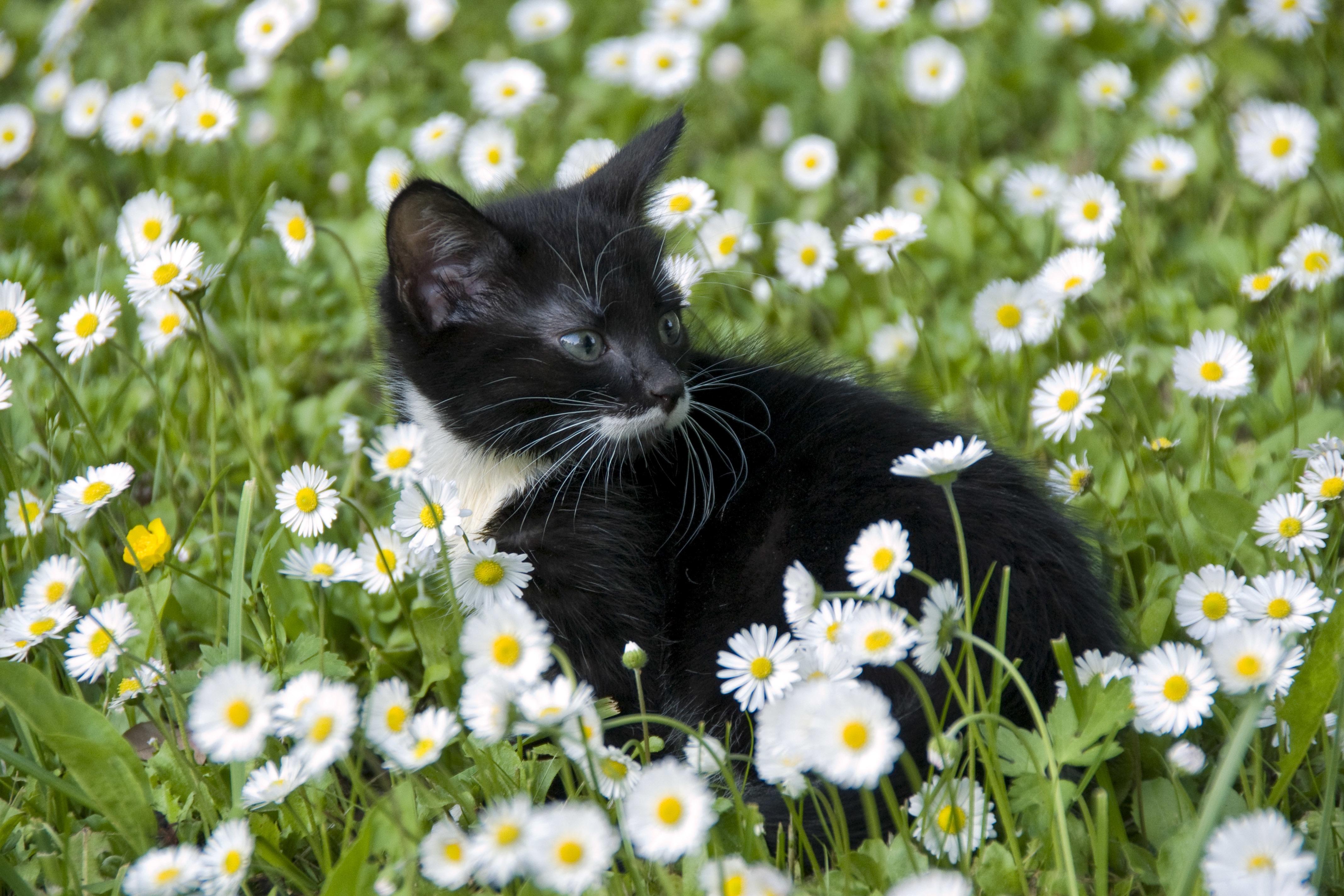 Котенок с ромашками бесплатно