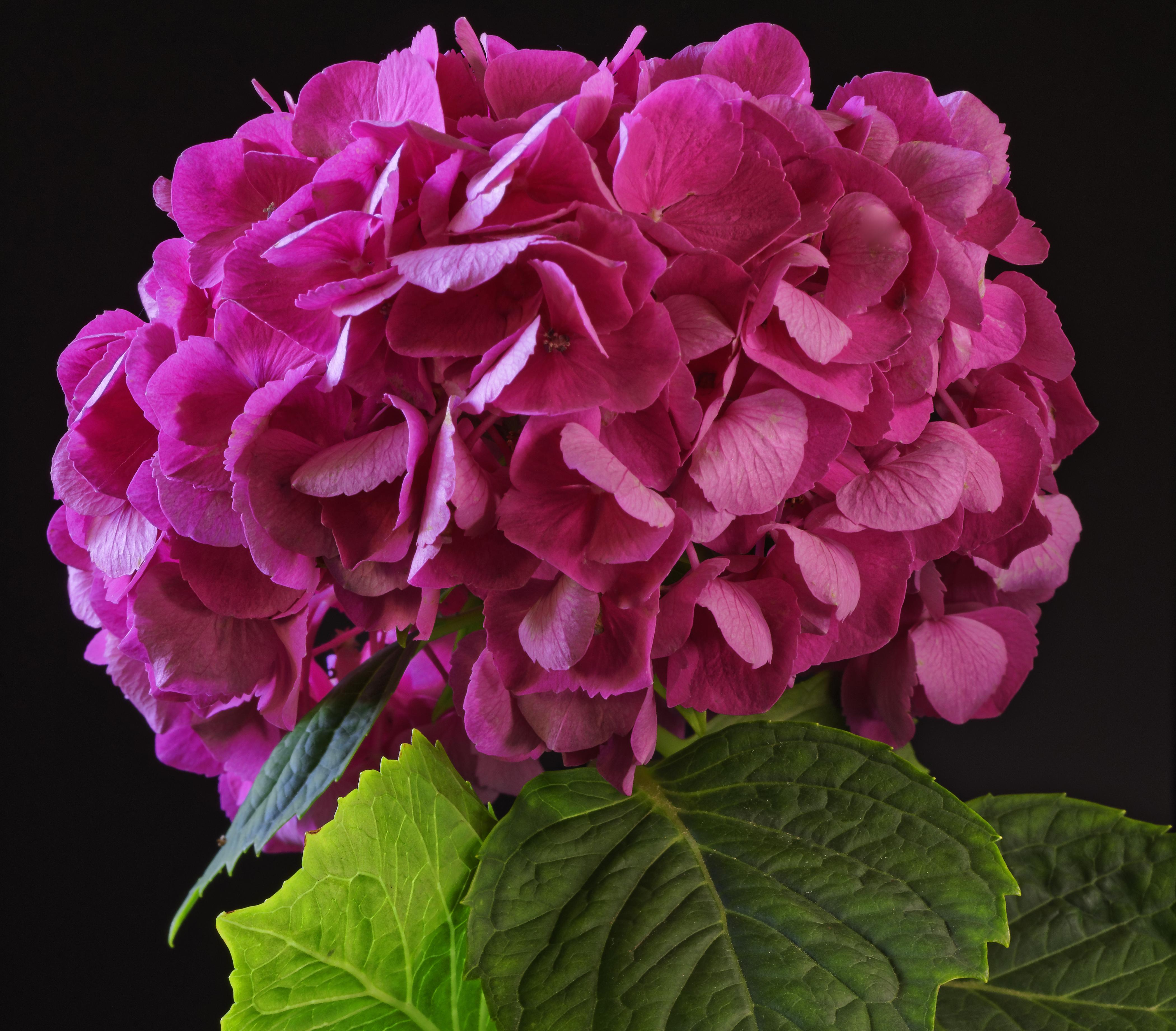 Фотографии Розовый Цветы Гортензия вблизи Черный фон 4200x3680 розовых розовые розовая цветок на черном фоне Крупным планом