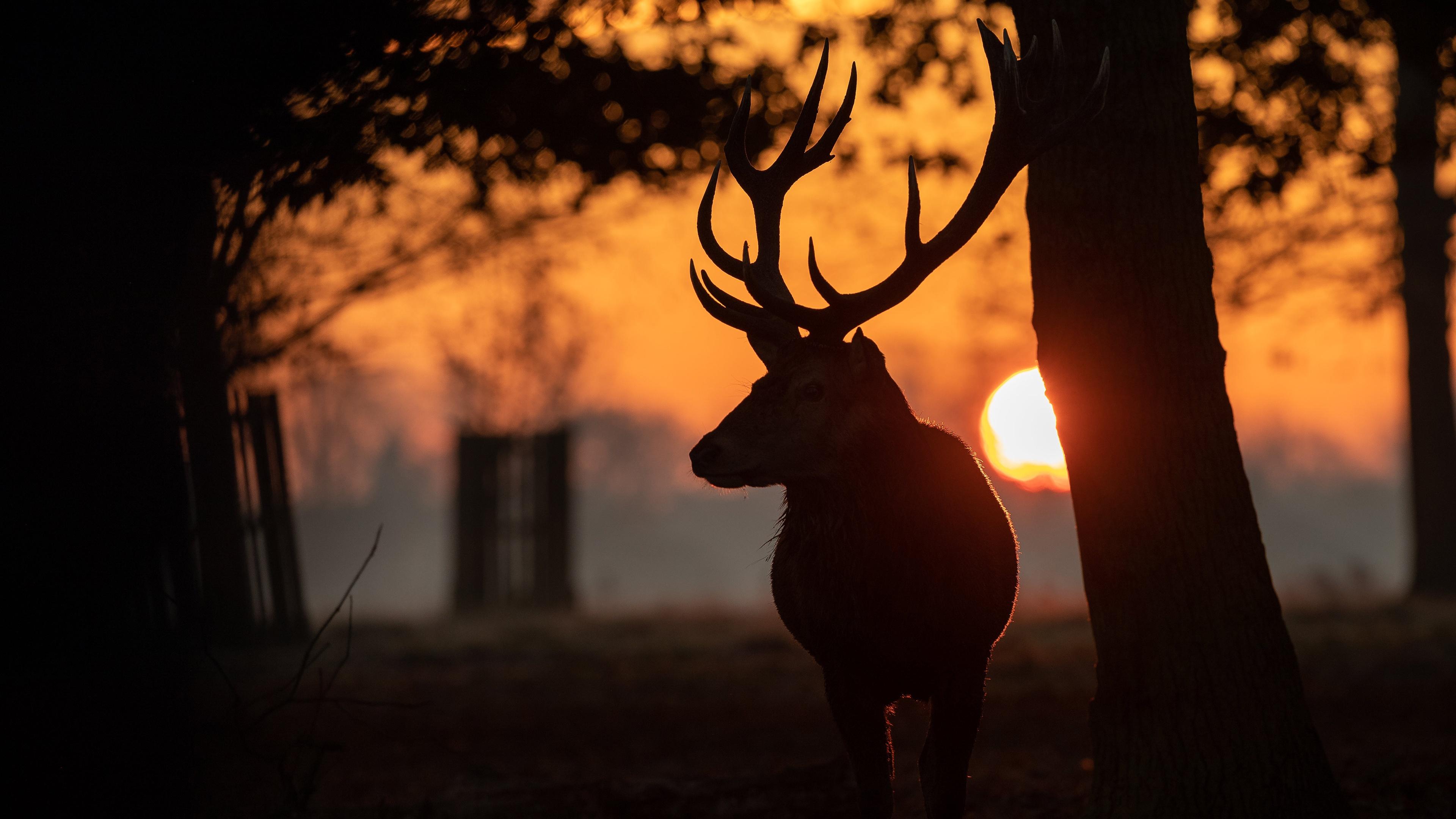 Картинка Олени Рога Силуэт Солнце рассвет и закат Животные 3840x2160 силуэты силуэта с рогами солнца Рассветы и закаты животное