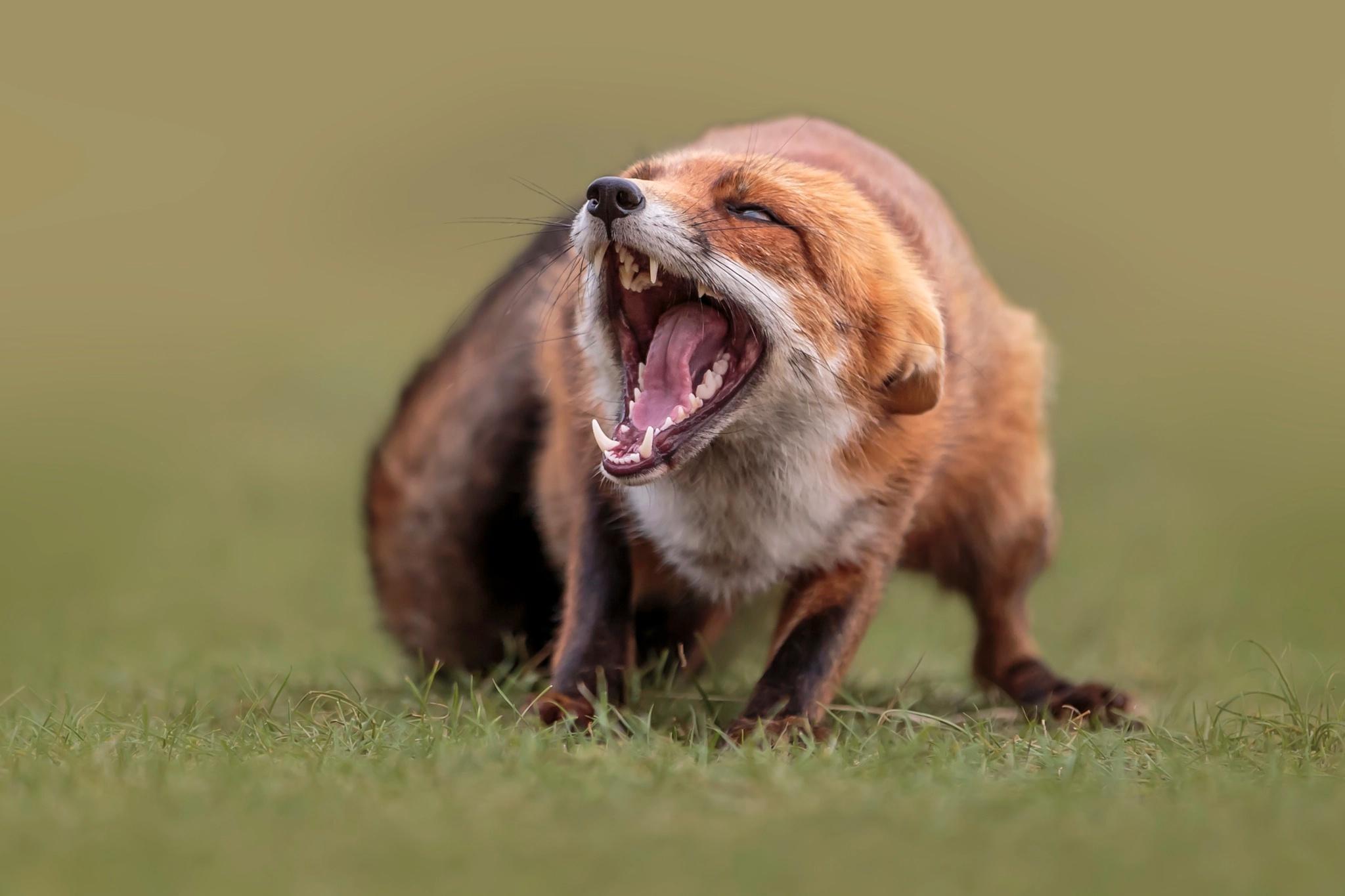 Обои для рабочего стола Лисица Клыки Размытый фон Язык (анатомия) злость животное Лисы боке языком злой Оскал рычит Животные