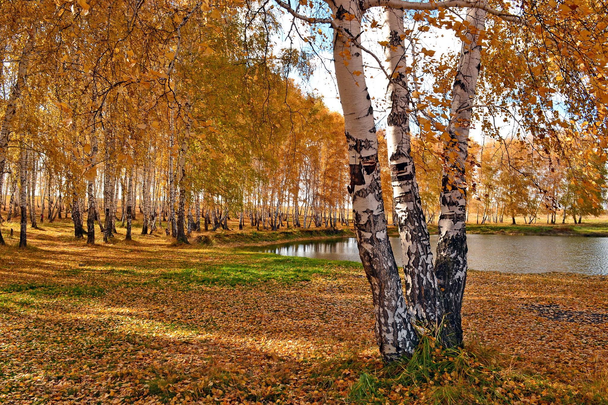 лес березы осень скачать