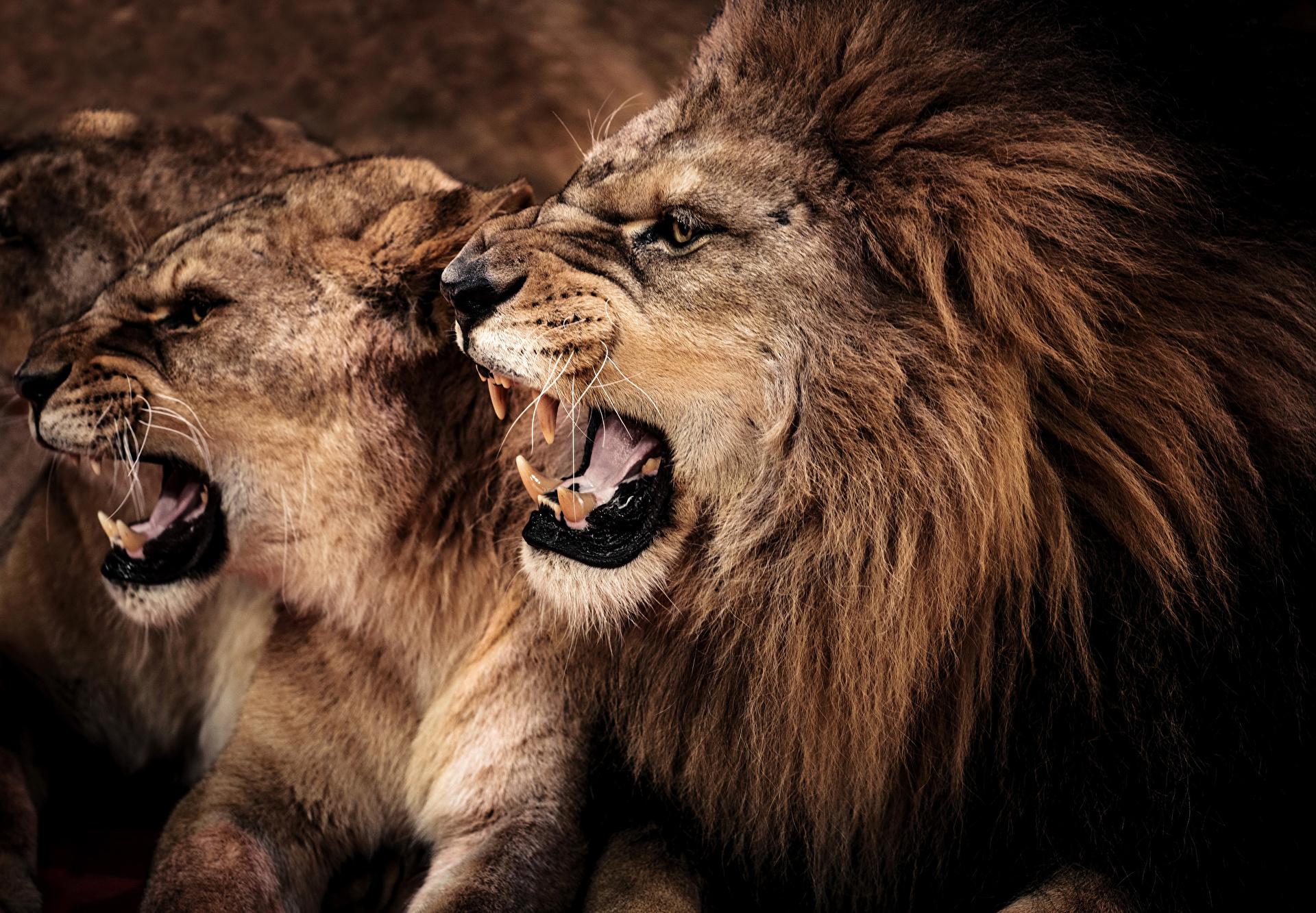 маршрутки Станция картинки с львами и львицами новой, улучшенной модифицированной