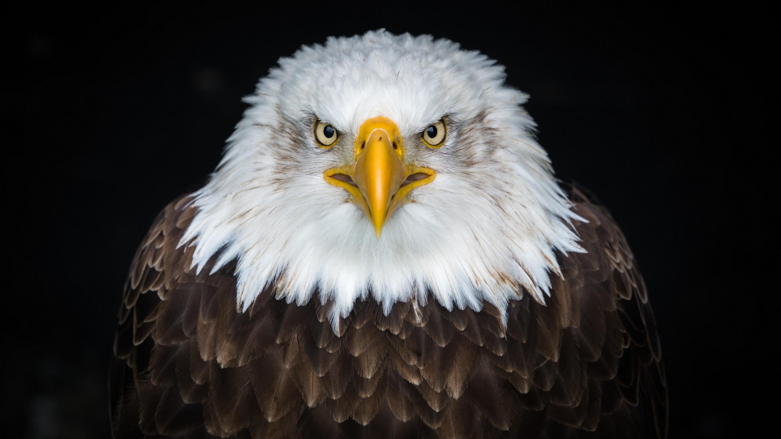 Обои для рабочего стола орел Недовольство Клюв смотрят животное на черном фоне 2560x1440 Орлы Хмурость Взгляд смотрит Животные Черный фон