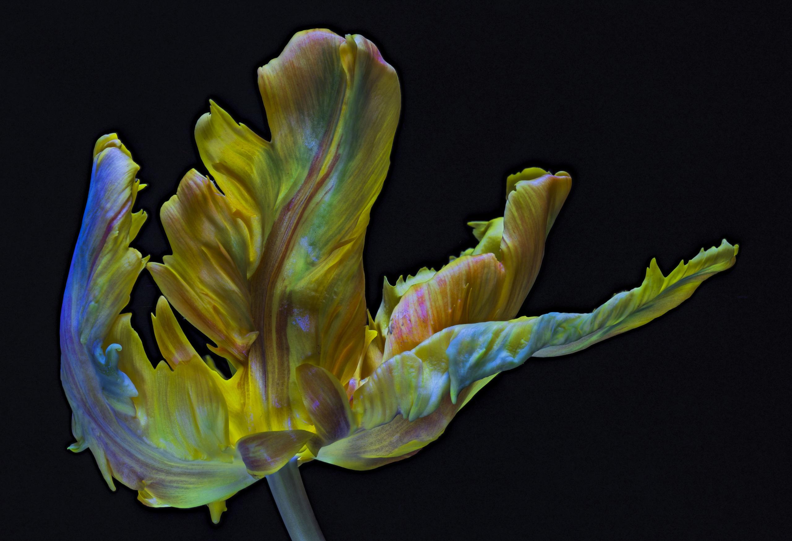 Обои для рабочего стола Parrot Tulip тюльпан Цветы вблизи на черном фоне 2560x1750 Тюльпаны цветок Черный фон Крупным планом