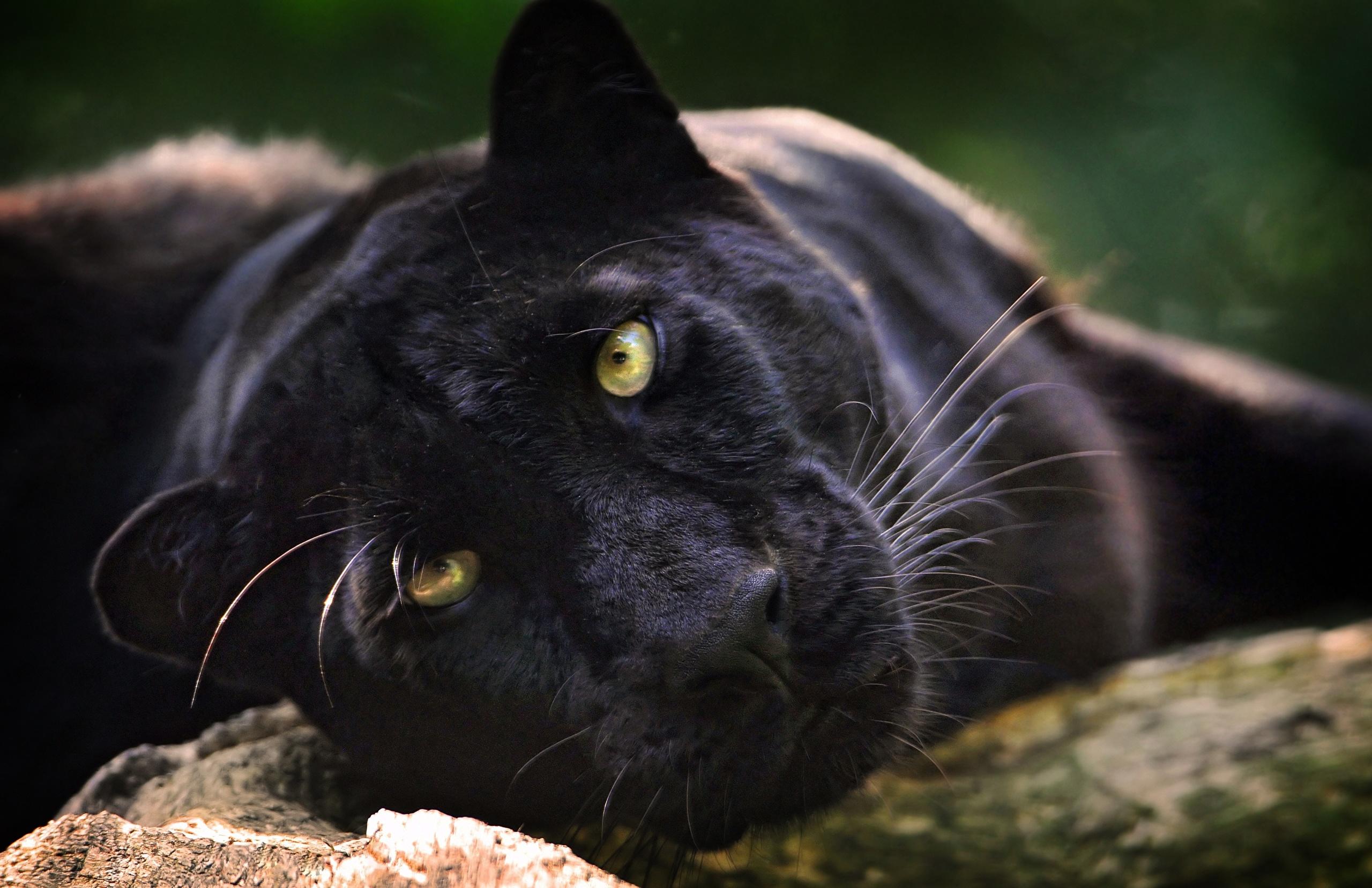 черный кот природа животные black cat nature animals скачать