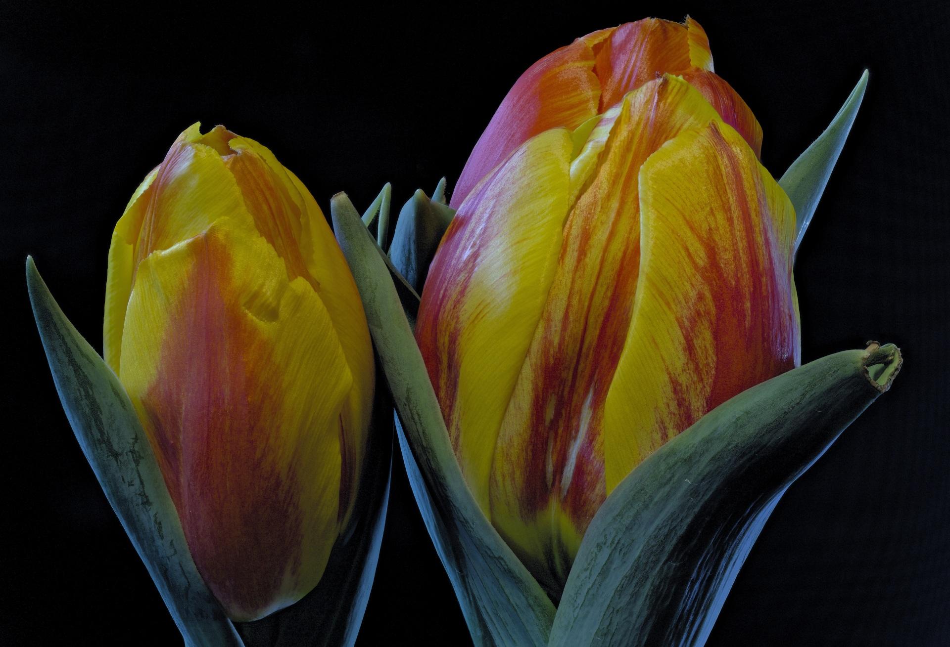 Фотографии тюльпан цветок Черный фон Крупным планом 1920x1309 Тюльпаны Цветы вблизи на черном фоне