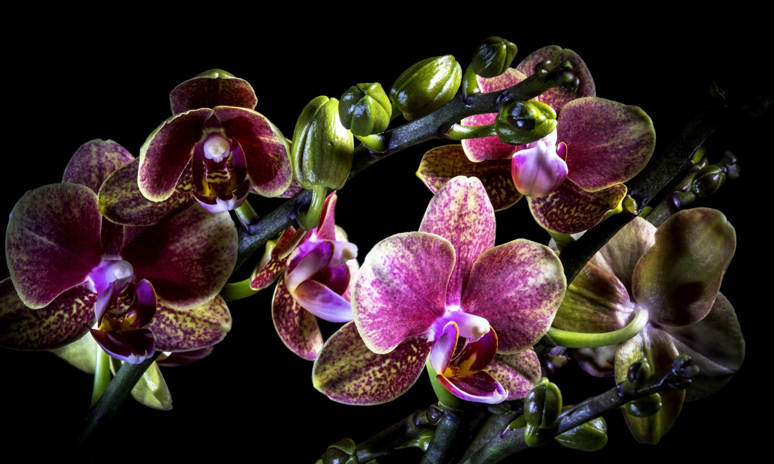 Фото орхидея цветок Черный фон Крупным планом 2560x1536 Орхидеи Цветы вблизи на черном фоне