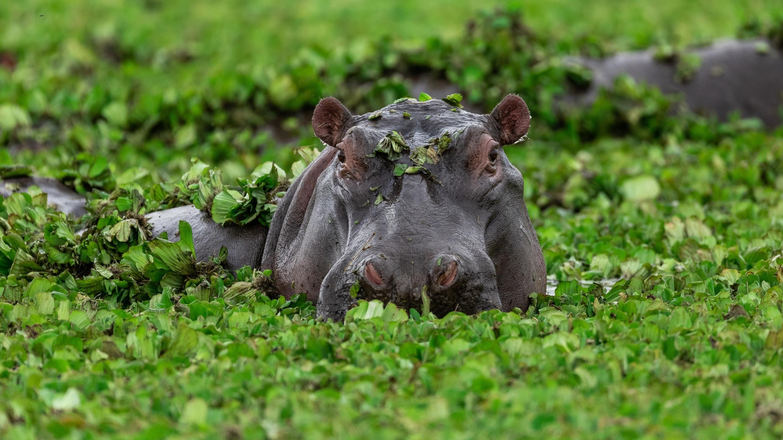 Картинки Гиппопотамы лист болотом Голова животное 2560x1440 Бегемоты Листья Листва Болото болоте головы Животные