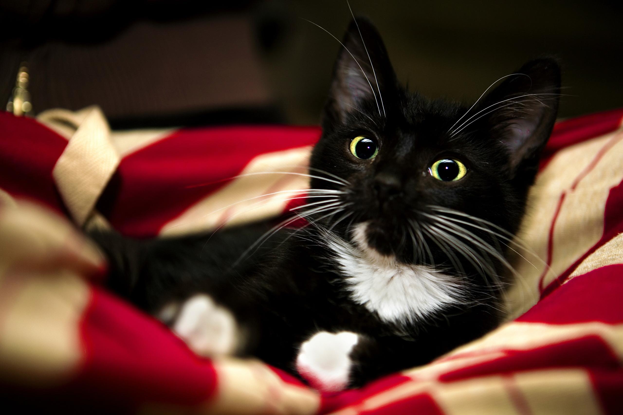 К чему снятся кошки — толкование сна, сонник.