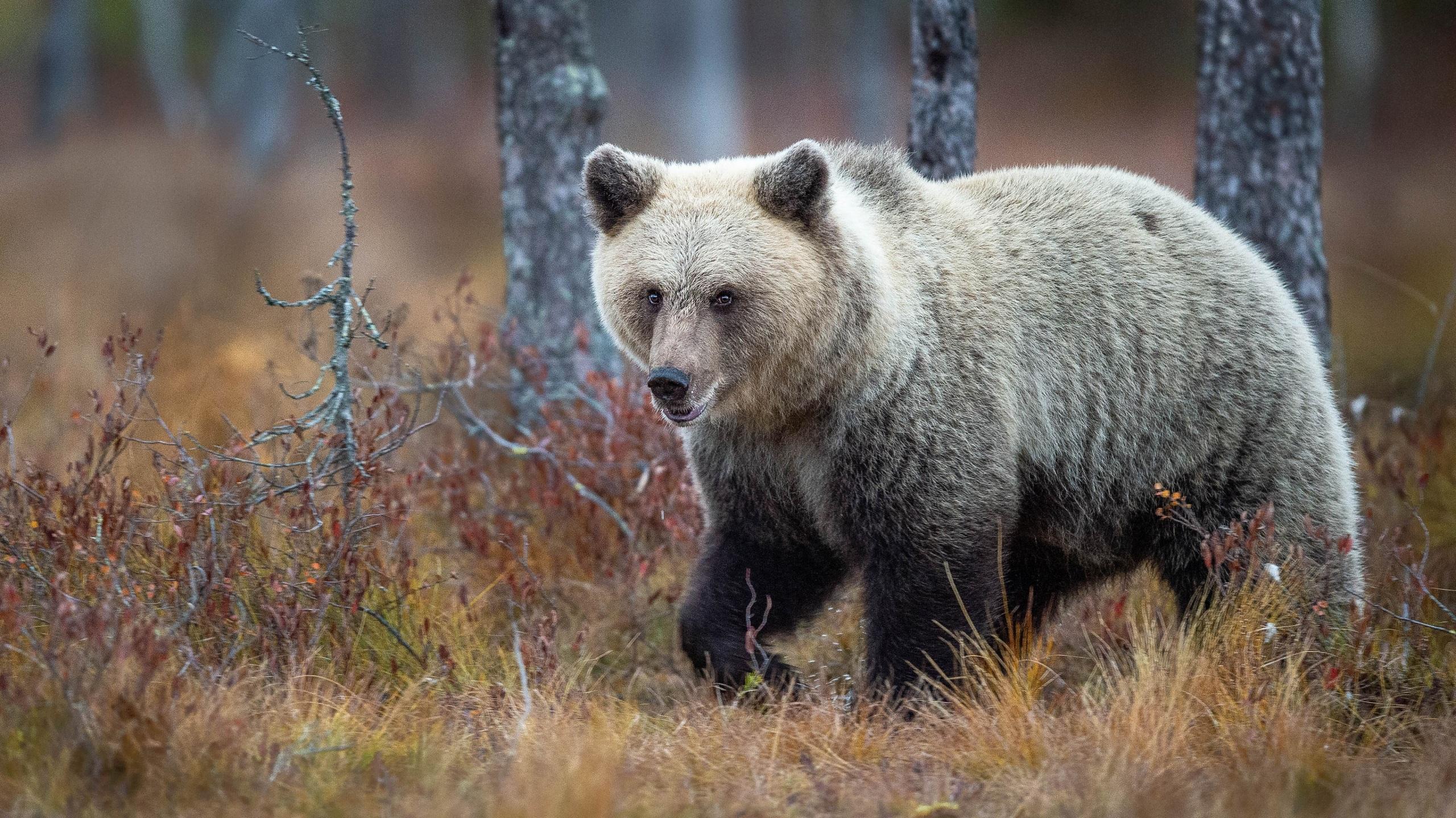 Обои для рабочего стола Медведи Осень Трава животное 2560x1440 медведь осенние траве Животные