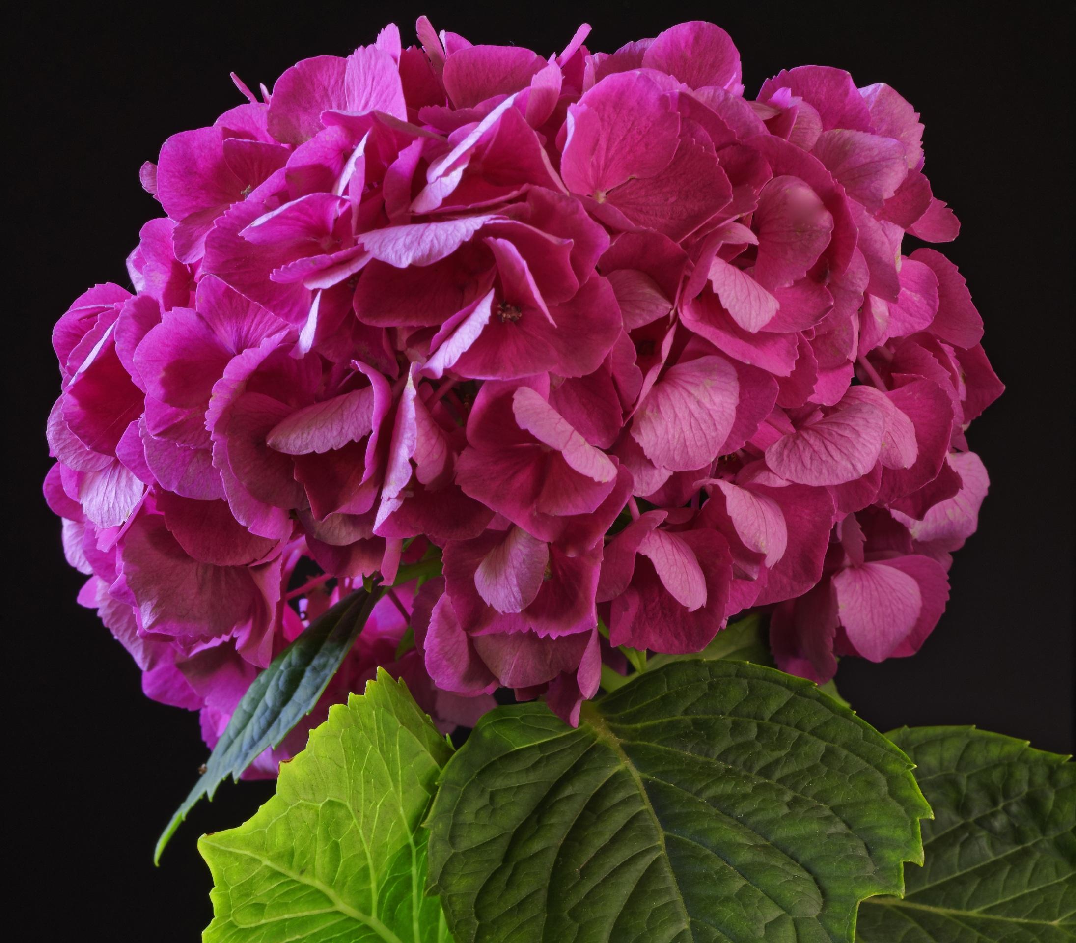 Фотографии Розовый Цветы Гортензия вблизи Черный фон 2191x1920 розовых розовые розовая цветок на черном фоне Крупным планом