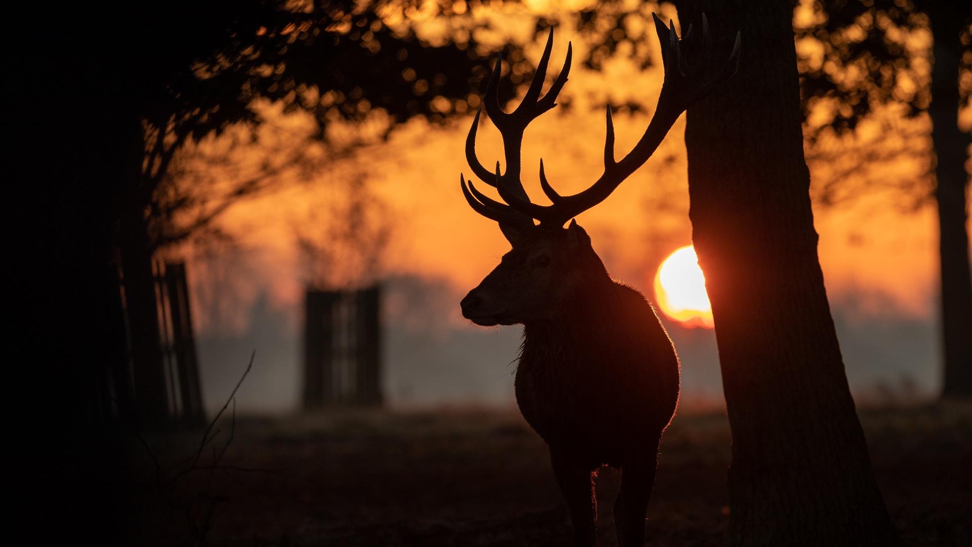 Картинка Олени Рога Силуэт Солнце рассвет и закат Животные 1920x1080 силуэты силуэта с рогами солнца Рассветы и закаты животное